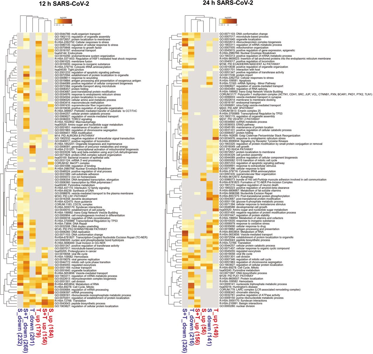 Top pathways regulated by MERS-CoV, SARS-CoV-2 or thapsigargin. (A) Top ten enriched pathways containing up- or downregulated DEPs extracted from the 100 enriched deregulated pathways shown in Fig. S3 / Fig. S4 . Colors indicate highly common categories. (B) Top 20 pathways enriched with thapsigargin alone or jointly by MERS-CoV, SARS-CoV-2 and thapsigargin according to the Venn diagram shown in Fig. 4F .