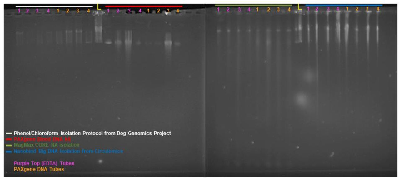 PFGE visualization of HMW-DNA extracted from four different extraction methods (PCE. <t>PAXgene</t> MagMax, and Nanobind) using blood stored in two different preservation agents (PAXgene and <t>EDTA).</t> Samples are from four dogs (numbered across the top 1-4). The lambda ladder is in the middle lane of each gel. indicated by a yellow V (48.5Kb - 1Mb. 18 bands at 48.5Kb steps). The PAXgene extraction kit is the only kit that failed to yield HMW-DNA. PFGE run at 70V for 20 hours.