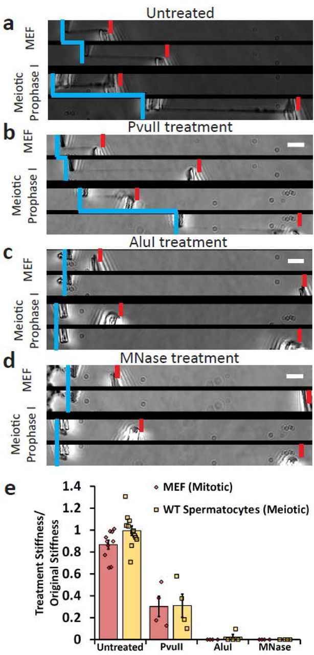 Mitotic and meiotic chromosomes have a contiguous DNA connection, which is dissolved by 4 bp restriction enzymes, but only weakened by 6 bp restriction enzymes. Image pairs show pipette positions untreated (native isolated) chromosomes when relaxed and stretched (a) , and chromosomes following enzyme treatments (b-d) . Vertical blue lines mark positions of force pipettes. Force pipette deflection by pulling (horizontal blue lines) indicates mechanical connection; no movement (no horizontal blue line) indicates no mechanical connection. Red notches mark positions of stiff pipettes. Bars are 5 μm. ( b ) Both mitotic and meiotic chromosomes were weakened, but not fully digested after treatment with PvuII (cut sequence CAG ˅ CTG). ( c ) Both mitotic and meiotic chromosomes lost connectivity after treatment with AluI (cut sequence AG ˅ CT; for 1 of 4 trials meiotic chromosomes were not fully digested by AluI). ( d ) Both mitotic and meiotic chromosomes lost connectivity when treated with MNase (cleaves all DNA sequences). ( e ) Quantification of chromosome stretching elasticity after no treatment or after being treated with PvuII, AluI, and MNase. No treatment caused a 13 ± 4% weakening of mitotic chromosomes (N=10) and a 1 ± 4% weakening of meiotic chromosomes (N=10). PvuII treatment caused a 70 ± 8% reduction in stiffness for MEF chromosomes (N=4) and 70 ± 9% reduction in stiffness for meiotic chromosomes (N=4). One of four AluI treatments of meiotic chromosomes caused a 90% reduction in stiffness (rather than fully digesting), while AluI treatment digested 4 of 4 mitotic chromosomes. All MNase treatments caused full digestion of mitotic and meiotic chromosomes (N=4 in both cases). All averages are reported as mean value ± SEM. Bars are 5 μm.