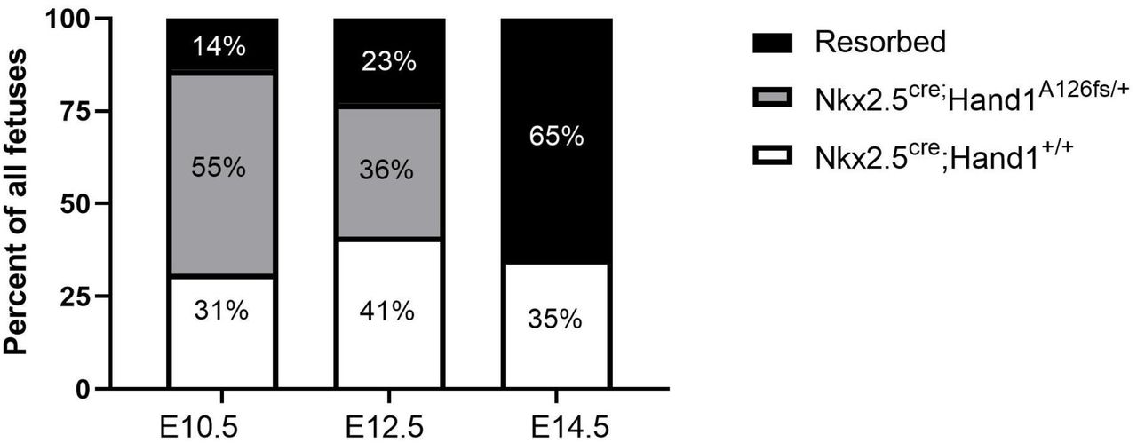 Nkx2.5 cre ;Hand1 A126FS/+ show increased fetal demise. Graph shows percentages of live Nkx2.5 cre ;Hand1 +/+ (white), Nkx2.5 cre ;Hand1 A126fs/+ (grey), and resorbed (black) fetuses at E10.5, E12.5, and E14.5. No live Nkx2.5 cre ;Hand1 A126fs/+ fetuses were retrieved at E14.5. N = 4-8 litters.