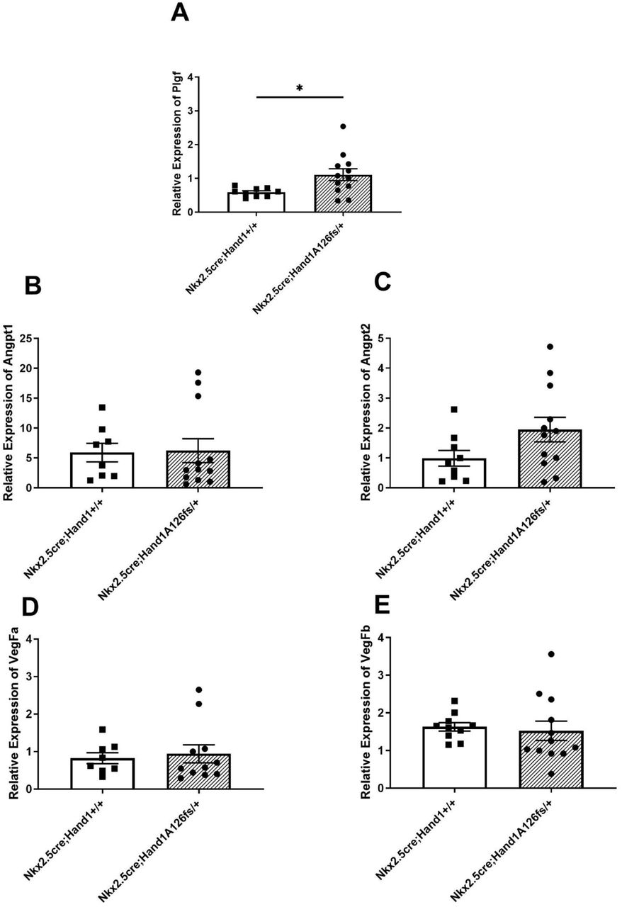(A) Relative Plgf expression was significantly increased in the Nkx2.5 cre ; Hand1 A126fs/+ labyrinths verses littermate controls. (B-E) Relative gene expression of VegFa, VegFb, Angpt1, and Angpt2 were not significantly different between Nkx2.5 cre ; Hand1 A126fs/+ and Nkx2.5 cre ;Hand1 +/+ placental labyrinthine tissue at E10.5, although Angpt2 trended higher in the conditional Han1 knockouts. Bars indicate mean ± SEM.