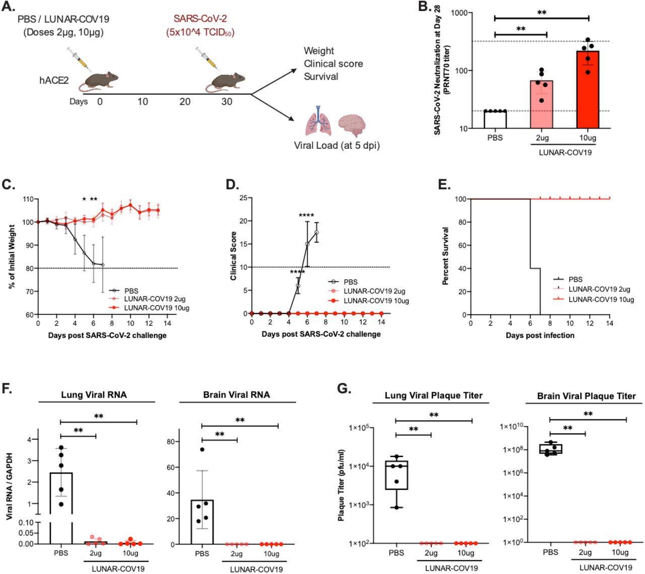 Single dose of LUNAR-COV19 protects hACE2 mice against a lethal challenge of SARS-CoV-2 virus. A ) hACE2 transgenic mice were immunized with a single dose of either PBS or 2 μg or 10 μg of LUNAR-COV19 ( n =5 per group), then challenged with live SARS-CoV-2 at 30 days post-vaccination, and assessed for either survival (with daily weights and clinical scores) or sacrificed at day 5 post-challenge and measured lung and brain tissue viral loads. Study design schematic diagram was created with BioRender.com B ) Live SARS-CoV-2 neutralizing antibody titers (PRNT70) measured at 28 days post-vaccination. C ) Weight, D ) clinical score and E ) survival was estimated following challenge with a lethal dose (5×10^5 TCID 50 ) of live SARS-CoV-2 virus. F ) Viral RNA and G ) infectious virus in the lungs and brain of challenged mice were measured with qRT-PCR or plaque assay, respectively. PRNT 70 and viral titers (RNA and plaque titers) were compared across groups using the non-parametric Mann-Whitney U test. Weights and clinical scores at different timepoints were compared between PBS and 10ug LUNAR-CoV19 immunized mice using multiple t -tests. P -values are denoted by * for 0.05