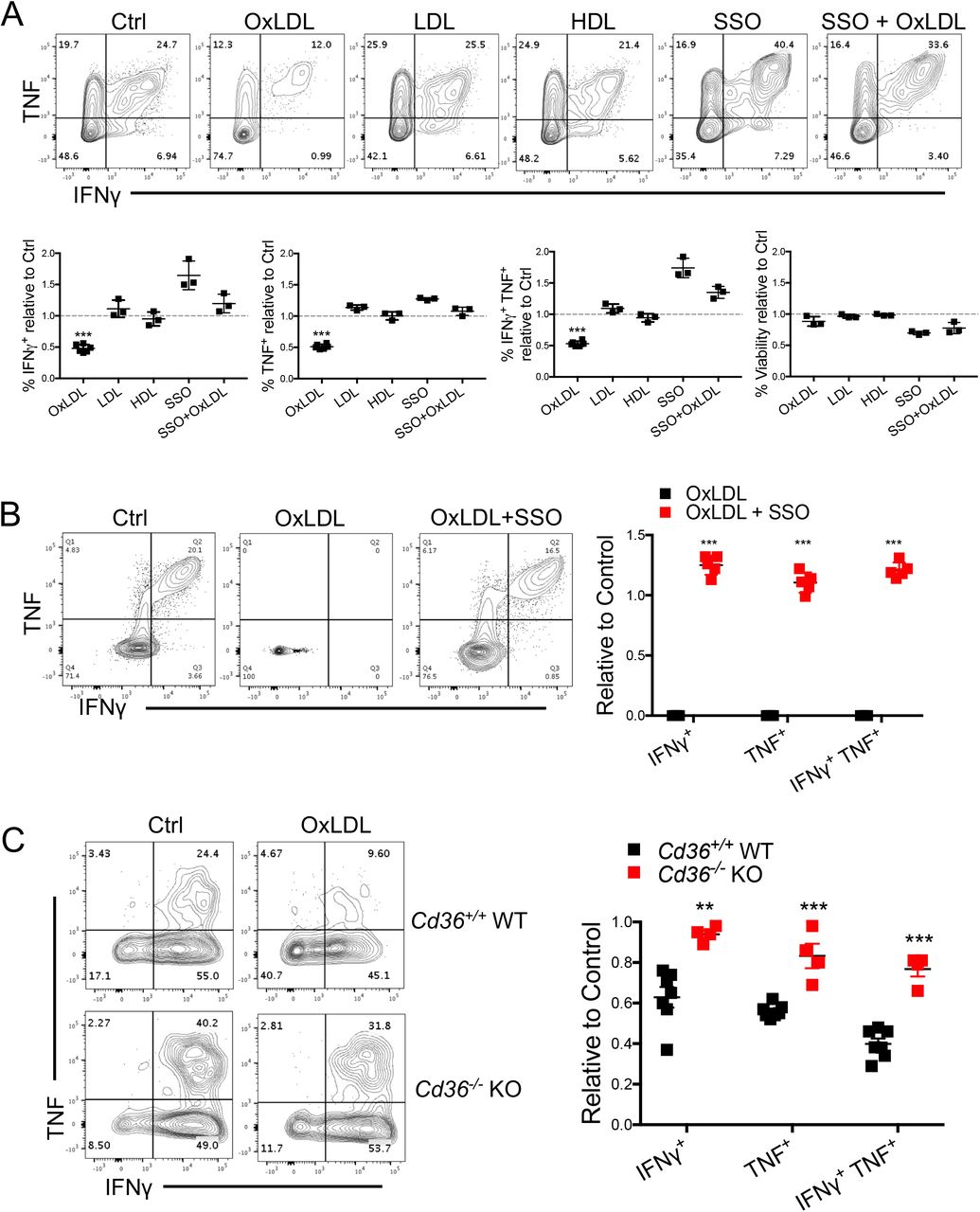 OxLDL inhibits CD8 + T cell function in a CD36-dependent manner (A) P14 CD8 + T cells were activated in vitro with gp33 peptide plus IL-2 for 24 hrs and then treated with either vehicle control (Ctrl), OxLDL (50 μg/ml), LDL (50 μg/ml), HDL (50 μg/ml), SSO (100 μM), or the combination of OxLDL (50 μg/ml) and SSO (100 μM), for another 48 hrs. TNF, IFNγ and cell viability were then measured upon re-stimulation with gp33 for 6 hours and analyzed by flow cytometry. (B) Human PBMCs were treated with either vehicle control (Ctrl), OxLDL (50 μg/ml), or the combination of OxLDL (50 μg/ml) and SSO (100 μM). TNF, IFNγ and cell viability was measured by flow cytometry 16 hrs after stimulation with Staphylococcal enterotoxin B (SEB). (C) Cd36 +/+ or Cd36 -/- CD8 + TILs isolated from B16 tumors 21 days post implantation were purified by FACS and treated with either vehicle control (Ctrl) or oxLDL (50 μg/ml) for 24 hrs. TNF and IFNγ was measured by flow cytometry 4 hrs after stimulation with PMA/ionomycin. Data shown are mean± SEM and statistical tests were performed by two-tailed unpaired Student's t-test (A, C), and two-tailed paired Student's t-test (B), **p