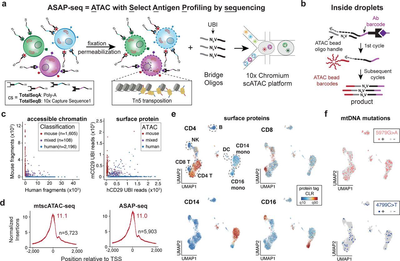 ASAP-seq incorporates protein detection in scATAC-seq workflows. a. Schematic of the cell-processing steps that allow retention and profiling of cell-surface markers jointly with chromatin accessibility. Cells are stained with oligo-conjugated antibodies before fixation, permeabilization and transposition with Tn5. b. In droplets, bridge oligos spiked into the barcoding mix promote templated extension of the antibody tags during the first cycle of amplification rendering them complementary to bead-derived barcoding oligos. Extended antibody tags are subsequently barcoded together with the transposed chromatin fragments. c. Species mixing experiment using the Pre-SPRI approach; number of unique nuclear fragments (left) and protein-tag counts (right) associated with each cell barcode. Points are colored based on species classification using ATAC-derived fragments (97.4% agreement by assignment; all but 1 discrepancy was an errant doublet versus singlet classification) d. TSS enrichment scores of mtscATAC-seq without (left) or with concomitant protein tag capture (right). n indicates the number of cells profiled. e. UMAP showing chromatin accessibility-based clustering of PBMCs stained with a 9-antibody panel, with selected markers highlighted. Color bar: protein tag centered log-ratio (CLR) values. f. Cellular distribution of two most commonly detected mtDNA mutations in the population. Thresholds for + were 5% heteroplasmy based on empirical density.