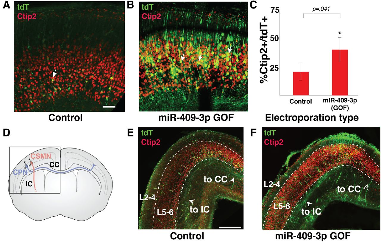 miR-409-3p loss of function does not alter endogenous LMO4 expression in cultured embryonic cortical neurons. miR-409-3p antisense loss-of-function (LOF) in cultured embryonic cortical neurons results in no significant change in expression of endogenous LMO4, compared to scrambled control, by immunocytochemical analysis. Error bars represent SEM. n.s. not statistically significant.