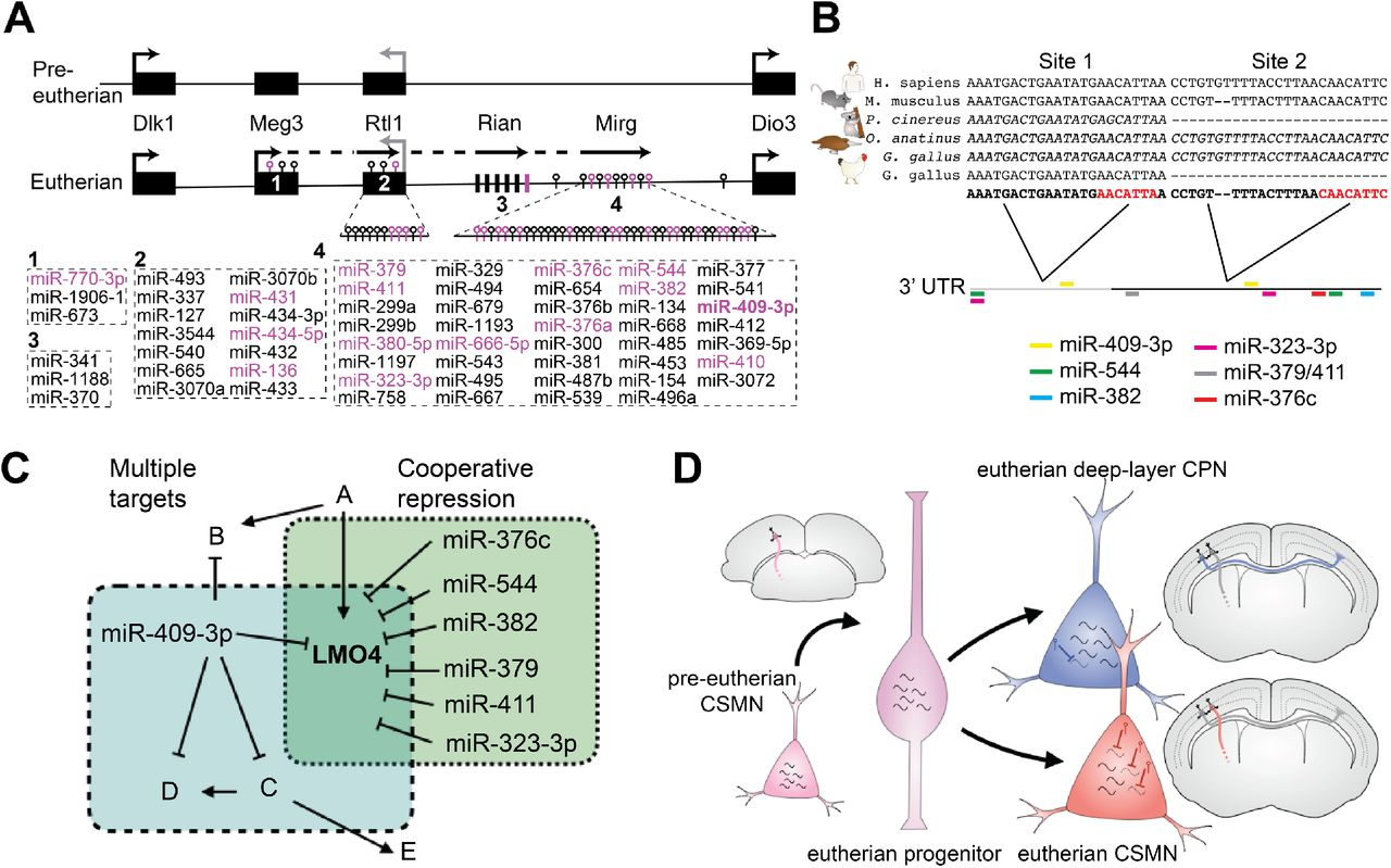 CSMN-enriched miRNAs are encoded at a genomic cluster that co-evolved with motor cortex and corpus callosum. (A) Schematic of the mouse 12qF1 locus highlighting miRNAs identified as enriched in CSMN (magenta). Meg3, anti-Rtl1, Rian, and Mirg are incompletely characterized genes encoding long RNAs that give rise to the eutherian-specific clustered 12qF1 microRNAs. Dlk1, Rtl1, and Dio3 are protein-coding genes at 12qF1 that are conserved in pre-eutherian mammals. (B) Schematic of the vertebrate LMO4 3'UTR depicts that the proximal portion (grey) is well-conserved among characterized vertebrate LMO4 mRNAs, whereas the distal portion of the eutherian LMO4 3'UTR (black) is absent from all characterized chicken LMO4 mRNAs and all marsupial LMO4 genes. The positions of predicted CSMN-enriched 12qF1 miRNA target sites, concentrated in the distal/eutherian portion of the LMO4 3' UTR, are indicated by colored bars. Multiple sequence alignments illustrate that mir-409-3p site 1 is well conserved among vertebrates, whereas site 2 appears to be well conserved only among eutherians. Predicted mRNAs are italicized; characterized mRNAs are not italicized. (C) Individual miRNAs repress multiple targets, and clustered miRNAs cooperatively repress shared targets. Six CSMN-enriched 12qF1 cluster miRNAs, in addition to miR-409-3p, are predicted to cooperatively repress LMO4. (D) Model depicting deep layer CPN and eutherian CSMN derived from ancestral pre-eutherian CSMN via expansion of gene expression to generate CPN as a new projection neuron subtype, and pruning of this expansion in eutherian CSMN via miRNA-mediated repression of gene expression.