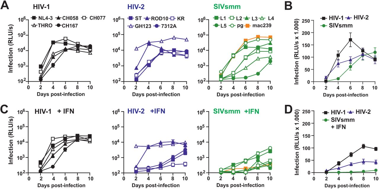 HIV-1, HIV-2 and SIVsmm differ significantly in IFN sensitivity. ( A ) Replication of HIV-1, HIV-2 and SIV proviral constructs in primary human CD4+ T cells. The results show mean infectious virus yields (n = 3) measured by infection of TZM-bl reporter cells with normalized volumes of the supernatants infected CD4+ T cell cultures derived from three different PBMC donors. ( B ) Mean infectious virus yield (±SEM) of the five HIV-1, five HIV-2 and six SIVsmm IMCs measured at the indicated days post-infection. ( C ) Replication of HIV-1, HIV-2 and SIV IMCs in CD4+ T cells infected as described in panel A the presence of IFN-α. ( D ) Mean infectious virus yields of HIV-1, HIV-2 and SIVsmm detected in the presence of IFN-α.