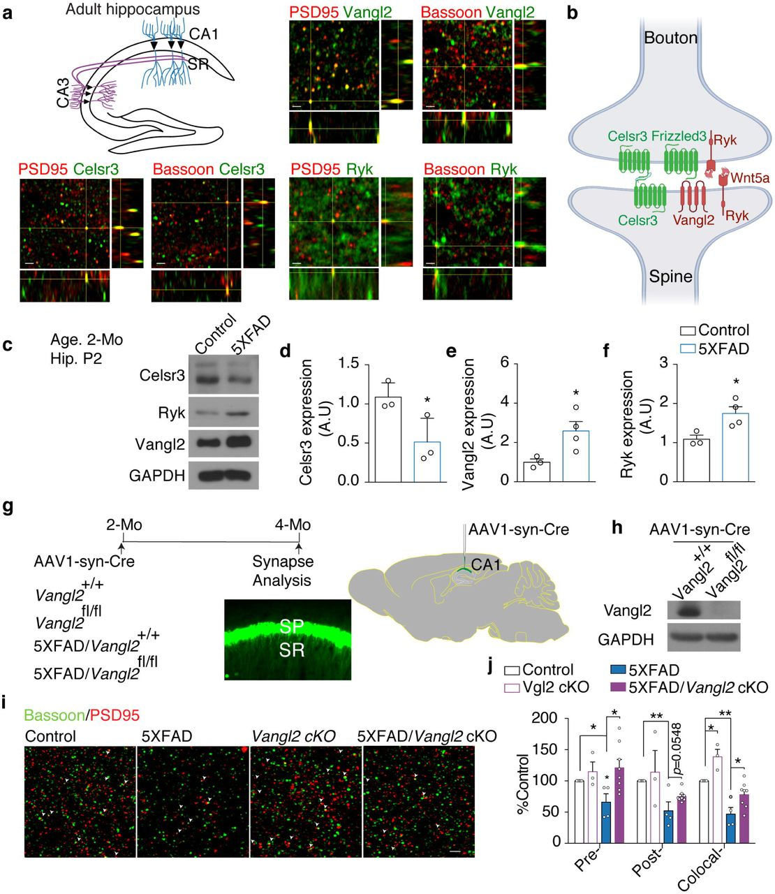 Localization of Wnt/PCP signaling components in glutamatergic synapses in adult hippocampus and requirement of Vangl2 for synapse loss in the 5XFAD mice. a , Costaining of Vangl2 (Green) and Celsr3 (Green) with postsynaptic markers, PSD-95 (Red) and presynaptic mater bassoon (Red). Arrows indicate colocalized puncta. SR, stratum radiatum; SP, stratum pyramidale. b, Schematic diagram showing the distribution of the Wnt/PCP signaling components in glutamatergic synapses. c-f, Expression levels of Celsr3, Ryk and Vangl2 in the P2 synaptosome fraction for adult hippocampus in control and 5XFAD transgenic mice. Student t -test. g, Schematics illustrating the experimental design. AAV1-hSyn-eGFP-Cre virus was injected into CA1 region of the hippocampus bilaterally. 2 months later, animals were fixed with perfusion and sectioning and stained with synaptic markers. h, Vangl2 protein level in total protein extracts from hippocampi injected with AAV1-hSyn-eGFP-Cre virus. i, Representative images of costaining for Bassoon (red)- and PSD95 (green)- (arrowheads indicate colocalization) in the stratum radiatum. j, quantification of (I). n=5 for control mice, n=3 for Vangl2 cKO mice, n=4 for 5XFAD mice and n=8 for 5XFAD ; Vangl2 cKO mice. One-way ANOVA. * P