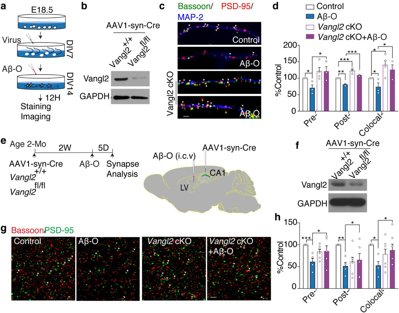 Vangl2 is required for Aβ oligomer-induced synapse loss in vitro and in vivo . a, Schematics illustrating the experimental design. AAV1-hSyn-eGFP-Cre virus was added to hippocampal neuron cultures on DIV7 for 7 days and then oligomeric Aβ42 was added. 12 hours later after adding oligomeric Aβ42, cultures were fixed for staining synaptic markers. b, Western blot showing the level of Celsr3 and Vangl2 proteins in cultures infected with the AAV1-hSyn-eGFP-Cre virus. c, Immunostaining for pre-(green) and postsynaptic (red) puncta of glutamatergic synapses (arrowheads) in 14-DIV hippocampal cultures from littermate Vangl2 +/+ or Vangl2 fl/fl with or without oligomeric Aβ42. d, Quantification of ( c ). n=3 for Vangl2 +/+ mice, n=4 for Vangl2 fl/fl from 3 independent experiments. e, Schematics illustrating the experimental design. AAV1-hSyn-eGFP-Cre virus was injected into CA1 region of the hippocampus bilaterally. 2 weeks later, oligomeric Aβ was injected into cerebroventricular. 5 days after Aβ oligomer injection, animals were fixed with perfusion and sectioning and stained with synaptic markers. f, Vangl2 protein level in the total hippocampus extract from animals injected with the AAV1- hSyn-eGFP-Cre virus. g, Representative images of Bassoon (red)- and PSD95 (green)- immunoreactive puncta (arrowheads) in stratum radiatum of Vangl2 +/+ and Vangl2 fl/fl hippocampus (CA1) with or without oligomeric Aβ injection and quantification of synapse numbers. h, Quantification of ( g ). One-way ANOVA. n=8 of Vangl2 +/+ mice, n=3 of Vangl2 +/+ mice with oligomeric Aβ injection, n=6 of Vangl2 fl/fl mice and n=5 of Vangl2 fl/fl mice with oligomeric Aβ injection. * P