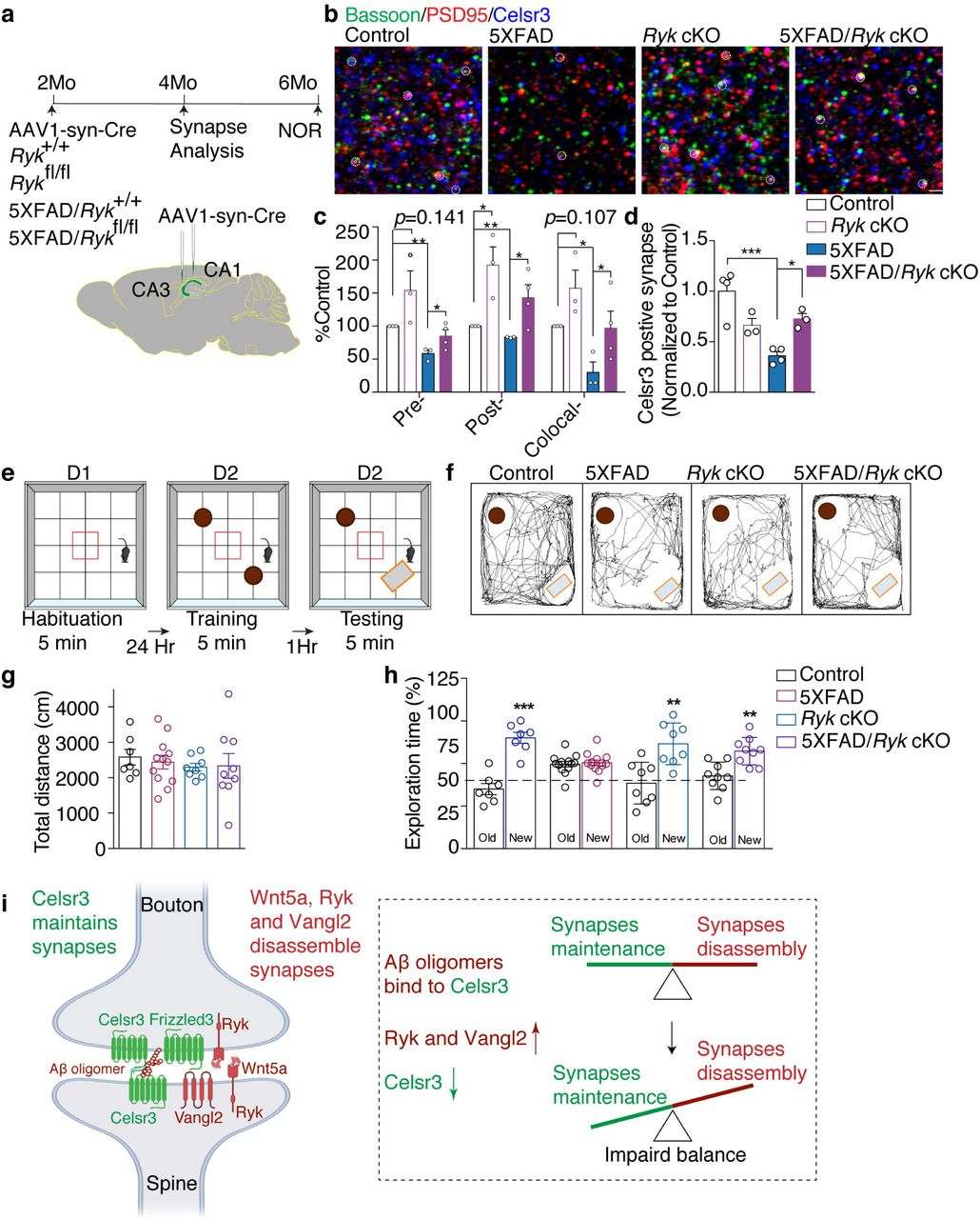 Function blocking Ryk antibody and Ryk cKO can prevent synapse loss and preserve cognitive function in 5XFAD mice a , Schematics for timeline and experimental design. AAV1-hSyn-eGFP-Cre virus was injected into CA1 and CA3 region of the hippocampus bilaterally. Animals were fixed with perfusion and sectioning and stained with synaptic markers at 4 months of age. A separate set of animals were injected and subjected to NOR at 6 months of age. b-c, Representative images and quantification of synapse numbers. d, Quantification of Celsr3-positive glutamatergic synapse (Celsr3 colocalized with PSD95 and bassoon). e, Schematic showing the design of novel object recognition (NOR). Mice were subjected to an open arena for three trails to evaluate the memory of objects. f, Trajectories of mice in the NOR test session. g, Quantification of locomotion. h, Quantification of NOR. Student t -test. i, Schematic diagram showing the balance of Wnt/PCP signaling in synapse maintenance and the binding site of oligomeric Aβ. * P