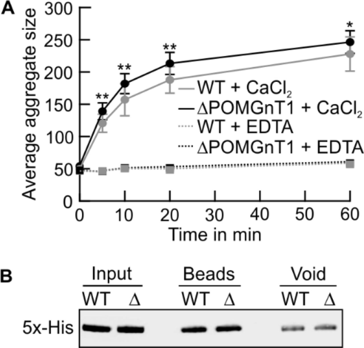 N-Cadherin from POMGNT1-deficient cells shows enhanced homotypic interactions in vitro . (A) Semi-quantitative analysis of the mean size of dynabead aggregates coated with the recombinant extracellular domain of recombinant N-Cdh purified from WT (gray line) and ΔPOMGnT1 cells (black line). Protein-coated dynabeads were imaged following incubation in the presence of either CaCl 2 (solid lines) or EDTA (broken lines) at the indicated time intervals. Mean aggregate size is plotted against time. Assays were performed at quadruplicate from two independent experiments. Data are represented as means ± SD. Asterisks denote statistical significance in comparison to WT cells: * p ≤ 0.05, ** p ≤ 0.01. (B) Western Blot analysis evaluating levels of protein from WT and ΔPOMGnT1 (Δ) bound to dynabeads. Dynabead-bound recombinant N-Cdh was eluted in SDS sample buffer (beads), resolved on a 10% SDS PAA gel. For detection on Western blot an anti-5xHis antibody was used. In addition, protein before binding to beads (input) and unbound fractions (void) are shown.
