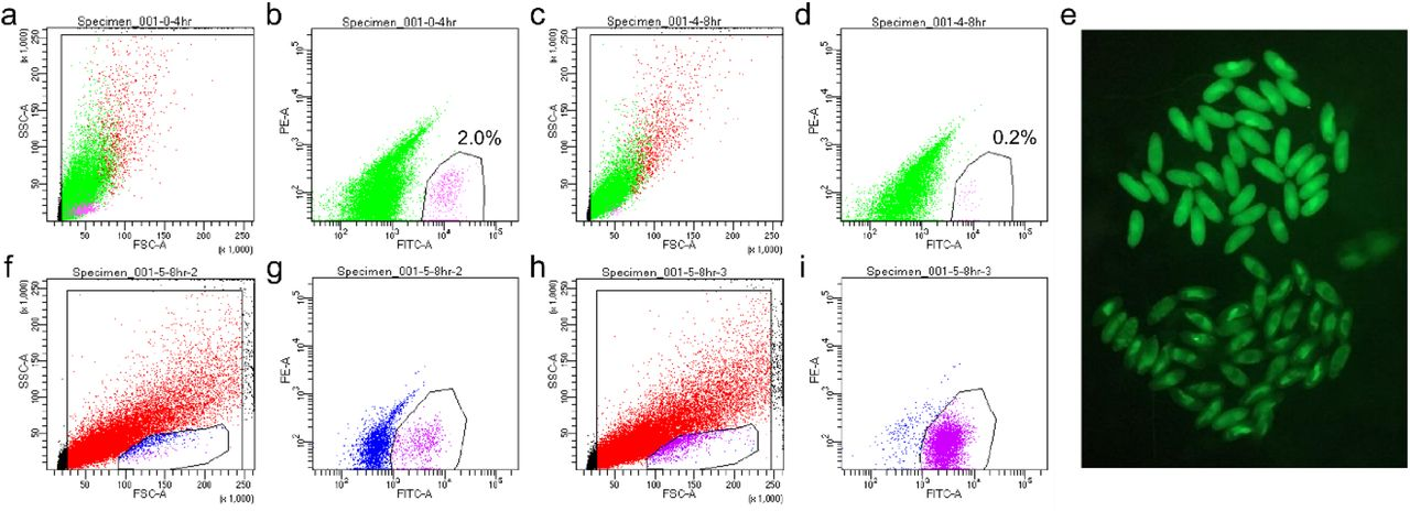 FACS schemes for the collection of single germ cells for scRNA-seq. a-b , FACS plots for unsexed 0-4 h germ cells. c-d , FACS plots for unsexed 4-8 germ cells. a, c , Gating for live cells which plots FSC-SSC. b, d , The gate for the magenta cells indicate the GFP+ cells that were sorted and their percentages. X and Y axes indicate the FITC and PE channels, respectively. e , Female and male 5-8 h embryos can be separately based on their Sxl-GFP expression under a fluorescent stereoscope. The embryos in the upper half express GFP highly and are females; those in the lower half are males. f-g , FACS plots for female 5-8 h germ cells. h-i , FACS plots for male 5-8 h germ cells. f, h , The small encircled populations on the bottom of the plots are enriched for germ cells, thus this live gate was used for the FITC-PE plots ( g, i ). g, i , FITC-PE plots with magenta cells being the GFP+ cells sorted. The axes are the same as in b, d .