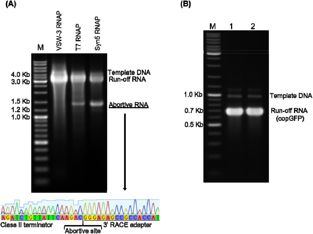 """Response of ssRNAPs to Class II terminator. (A) Using PCR-amplified templates for cas9-RNA IVT, obvious abortive RNA transcripts were observed for T7 RNAP and Syn5 RNAP but not VSW-3 RNAP (top gel). 3'-RACE revealed that the T7 RNAP transcription was terminated 9 nt downstream of a Class II terminator """"ATCTGTT"""" (bottom sequencing result). (B) VSW-3 RNAP IVT was not terminated (no additional bands comparing lane 2 with lane 1) when a Class II terminator """"ATCTGTT"""" was inserted into the middle of the copGFP RNA coding sequence."""
