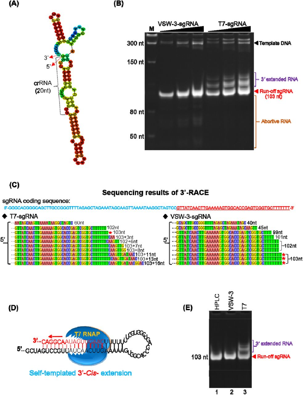 RNA 3' extension and RdRp activity of T7 and VSW-3 RNAP. (A) The secondary structure of a sgRNA predicted with RNAfold software. (B) IVT synthesis of a sgRNA (targeting eGFP) by VSW-3 and T7 RNAP. (C) 3'-RACE of the sgRNAs transcripts from T7 and VSW-3 RNAP IVT. Only the 3' region (red sequence on the top) of the full sgRNA in sequencing results was shown. The length of each sequence was noted. The sequences matching the exact run-off sgRNA (103 nt) was indicated by red stars. (D) Schematic showing the mechanism and origin (3' self-templated extension by the RdRp activity of T7 RNAP) of the 16 nt 3'-extension in T7 RNAP products as in (C) . (E) T7 but not VSW-3 RNAP retains the RdRp activity to extend purified sgRNA (with terminal primer/template structure).