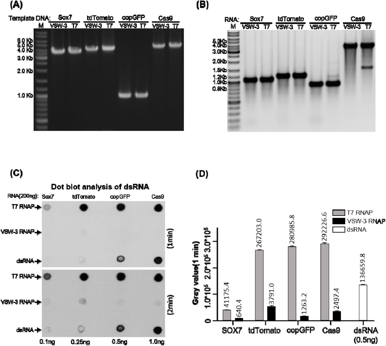 dsRNA by-products from T7 and VSW-3 RNAP IVT. (A) DNA templates for the IVT synthesis of various RNA as indicated on top of the gel. For each RNA, there are two DNA templates differ only in the promoter region to serve for VSW-3 and T7 RNAP IVT, respectively. DNA concentration and purity were compared in 1.5% agarose gel stained with ethidium bromide. (B) After template DNA was removed by DNase I treatment and purified with Monarch RNA Cleanup kit, 1μg of sox7, tdTomato, copGFP and Cas9 RNA transcribed by VSW-3 RNAP and T7 RNAP were analyzed in 1.5% agarose gel stained with ethidium bromide. The white and black colors for bands and background were converted in this gel picture to make the weak double-stranded and abortive RNA bands clearer. (C) Dot blot analysis of the RNA products (each 200 ng) as in (B) by VSW-3 RNAP and T7 RNAP with J2 monoclonal antibody. A prepared dsRNA (351 bp) was applied as quantitative standard (0.1 ng, 0.25 ng, 0.5 ng, 1.0 ng). (D) The gray value measurement and calculation of the X film image (top image in (C) ) by Image J software demonstrating the level of dsRNA contamination in T7 and VSW-3 RNAP transcripts.
