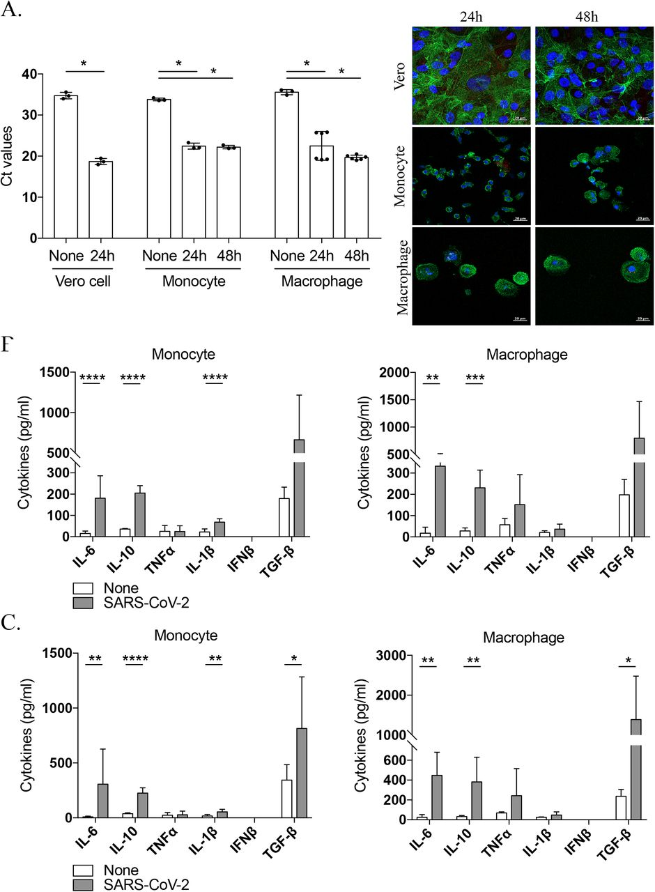 SARS-CoV-2 infects monocytes and macrophages and stimulates cytokine release. Vero E6 cells, monocytes and monocyte-derived macrophages were infected with SARS-CoV-2 IHU-MI3 strain (0.1 MOI) for 24 or 48 hours. ( A ) SARS-CoV-2 quantification was evaluated by RT-PCR, expressed as Ct values and observed in red in infected cells, with the nucleus in blue and F-actin in green (n = 3). Pictures were acquired using a confocal microscope (63x). **** P