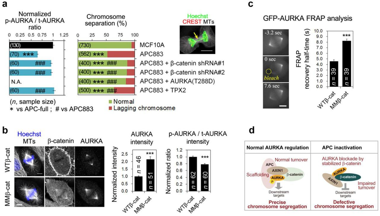 Characterization of cells used in this study. ( a ) Western blot analysis of HeLa cells and HeLa cells expressing EB1-GFP and H2B-TagRFP (clone A1) 31 before and after constitutive transfection with shRNA against APC (APC KD). APC knockdown efficiency was ∼70%. ( b ) Characterization of MCF10A cells, APC883 cells, and APC883 cell-derived transfectants. Cell lysates were subjected to western blotting using the indicated antibodies. Full length APC and truncated APC883 protein are indicated. For Myc-AURKA (T288D) and Myc-TPX2, endogenous and exogenous Myc-tagged proteins are indicated. ( c ) Characterization of MCF10A cells transfected with Myc-tagged wild-type β-catenin (Myc-WTβ-catenin) and a dominant stable β-catenin (Myc-MMβ-catenin), and further transfected with GFP-AURKA for fluorescence recovery after photobleaching (FRAP) analysis. Myc-WTβ-catenin- and Myc-MMβ-catenin-transfected cells were established under the same conditions, but Myc-WTβ-catenin was hardly overexpressed.