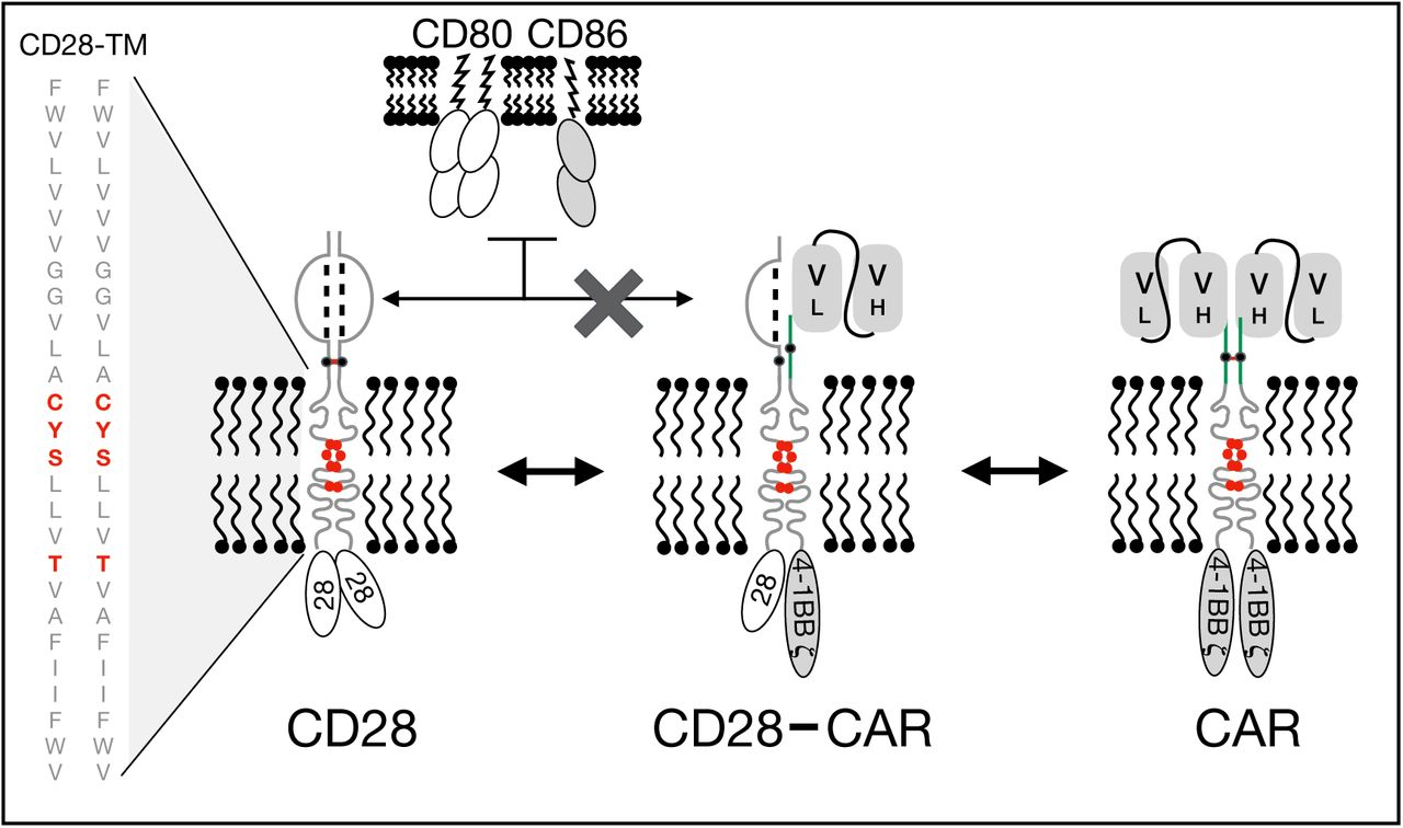 Anti-CD28 stimulation of CD19-CAR T cells is TMD dependent. (A) Designs of five chimeric antigen receptors (CAR) against CD19 bearing a 4-1BB co-stimulatory domain and differing by their hinge and transmembrane domain. ( B ) FACS sorted CD4 + CD127 + CD25 low T cells were electroporated with a CRISPR-Cas9 ribonucleoprotein complex (RNP) targeting the constant region of the TCR β chain gene ( TRBC ), followed by stimulation with anti-CD3/CD28 beads (1:1 ratio). ( C ) Representative results of flow cytometric analysis of CD3 expression over time of cells electroporated with or without RNP. Percentages of residual CD3 + population and fold-expansion after 9 days of culture of CD4 + T cells electroporated with or without RNPs targeting TRBC are shown. Results from 4 independent experiments. ( D ) A representative example of CFSE dilution of a mixed population of CD3 +/- CAR +/- T re-stimulated with anti-CD3/28 beads. ( E ) Normalized CFSE MFI ratio for CD3 - mCherry + , CD3 + mCherry - and CD3 + mCherry + cells was calculated by dividing CFSE MFI of these populations with the MFI of the CD3 - mCherry - cells in the same culture. Two-way ANOVA was used for statistical analysis (bold line set as reference). ( F ) Percentages of CD3 + and mCherry + cells before and 5 days after re-stimulation of edited T cells with anti-CD3/CD28 beads. Unpaired t-test was performed comparing CD8-TMD and CD28-TMD-containing CARs on D14. For E and F , results shown are a summary of 2 independent experiments using T cells from 5 unrelated donors for each construct. *** p