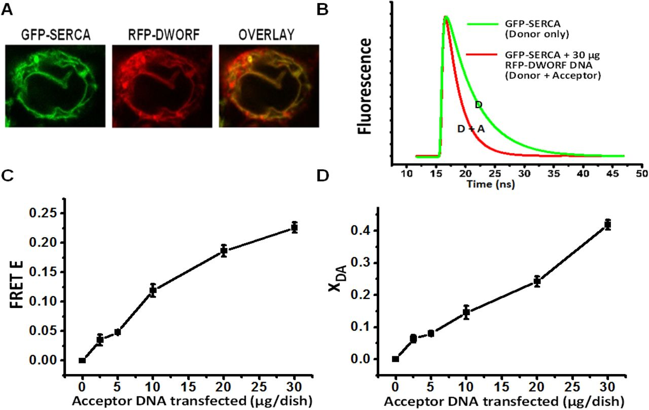 RFP-DWORF binding to GFP-SERCA2a in live cells. (A) Confocal microscopy images of GFP-SERCA (donor) and RFP-DWORF (acceptor) fluorescence signals. (B) Fluorescence lifetime (FLT) traces measured from HEK293 cells stably expressing the donor without (green, F D (t) or with (red, F D+A (t)) transient expression of the acceptor. FLT data was analyzed as described in Methods to determine lifetimes (τ D and τ D+A ) and mole fractions X D and X DA . (C) FRET efficiency E (1-τ D+A /τ D ) vs. μg of acceptor DNA seeded per dish. (D) The fraction of SERCA2a containing bound DWORF (X DA ).