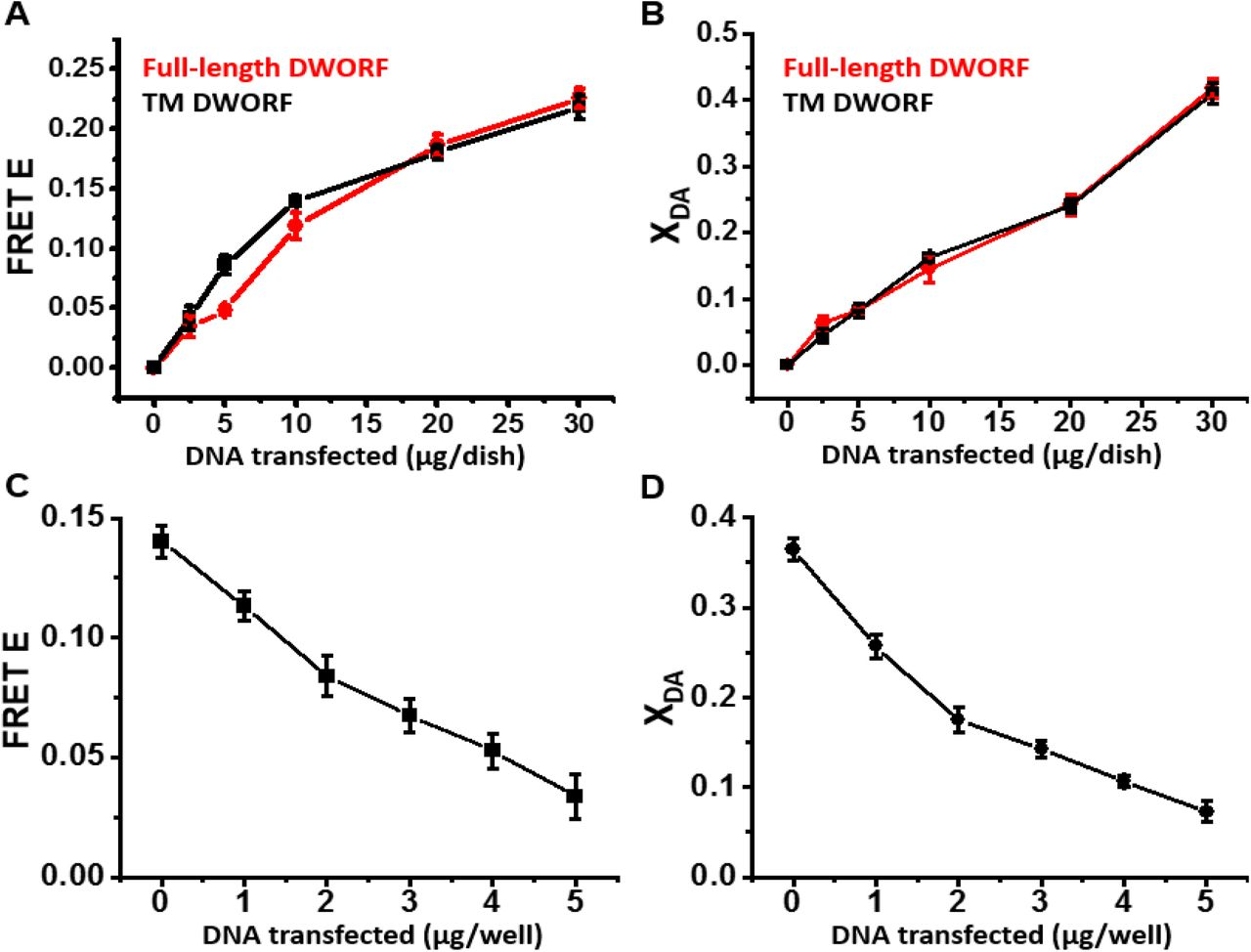 FRET-detected interaction of SERCA with the isolated TM domain of DWORF is similar to that with full-length DWORF. (A) FRET efficiency (E) in HEK293 cells stably expressing GFP-SERCA2a, vs. μg/dish of DNA transiently transfected into HEK293 cells expressing RFP-TM-DWORF (black) or full-length RFP-DWORF (red). (B) Fraction X DA of donors (GFP) transferring energy (bound) to acceptor (RFP) determined for samples in panel A. (C) FRET efficiency E for increasing amounts of TM-DWORF DNA transfected into a stable cell line expressing GFP-SERCA2a and RFP-PLB. (D) FRET efficiency plotted vs. DNA transfected per well. D. Fraction X DA of donors transferring energy (bound) to acceptors determined for samples in C.