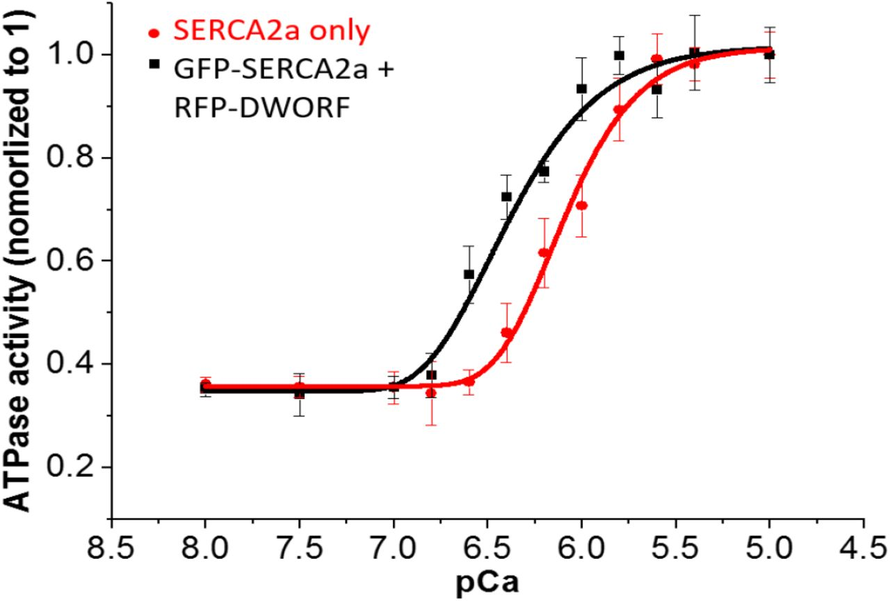 RFP-DWORF activates SERCA2a directly in the absence of PLB. Transient transfections of 5μg of RFP-DWORF into HEK293 cells stably expressing GFP-SERCA2a. 48 hours after transfection, cells was harvested at 10 million per mL in homogenization buffer (0.5mM MgCl2, 10mM Tris-HCL ph 7.5, DNase I and protease inhibitor). Cells was then lysed by Tissumizer (Tekmar SDT-1810) and prepared in 96well plate for ATPase assay. n=3