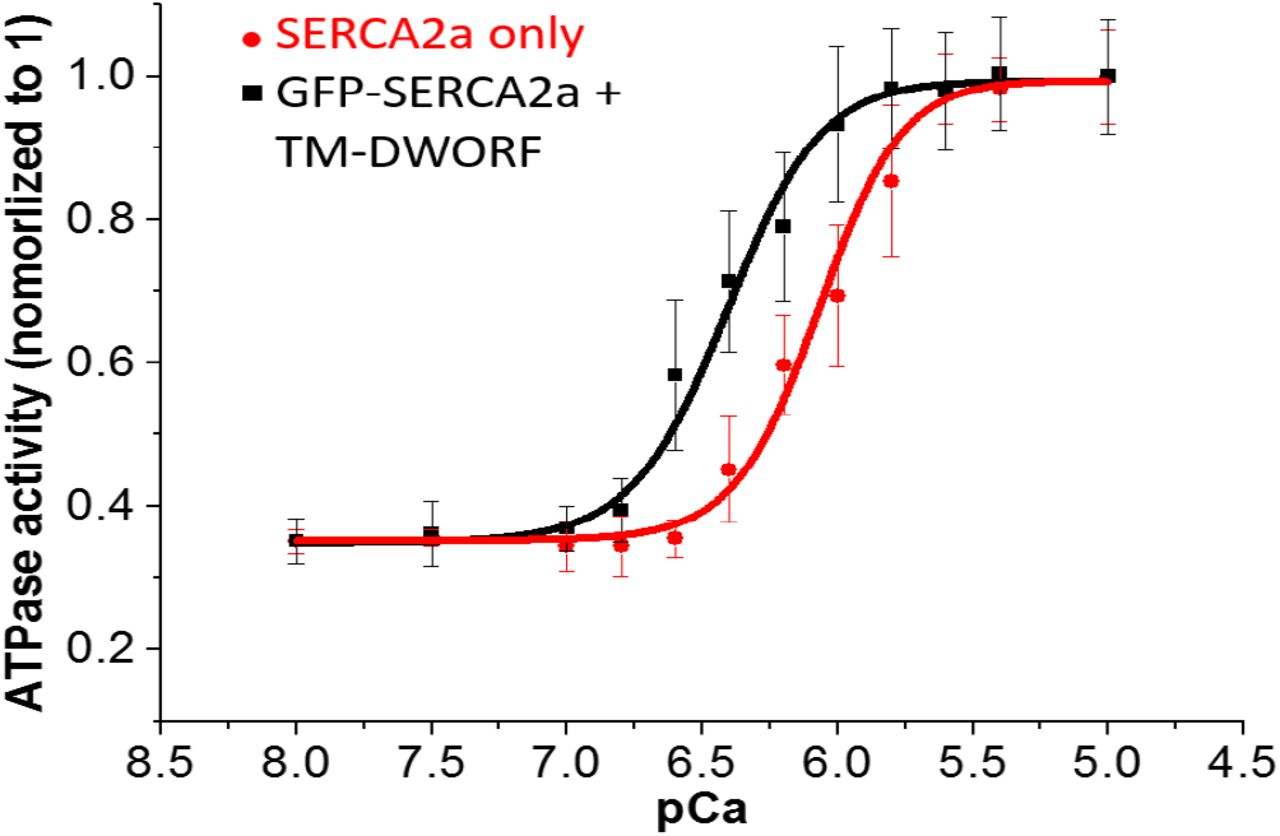 TM-DWORF can activate SERCA2a directly in the absence of PLB. Transient transfections of 5μg of TM-DWORF into HEK293 cells stably expressing GFP-SERCA2a. 48 hours after transfection, cells was harvested at 10 million per mL in homogenization buffer (0.5mM MgCl2, 10mM Tris-HCL ph 7.5, DNase I and protease inhibitor). Cells was then lysed by Tissumizer (Tekmar SDT-1810) and prepared in 96well plate for ATPase assay. n=3