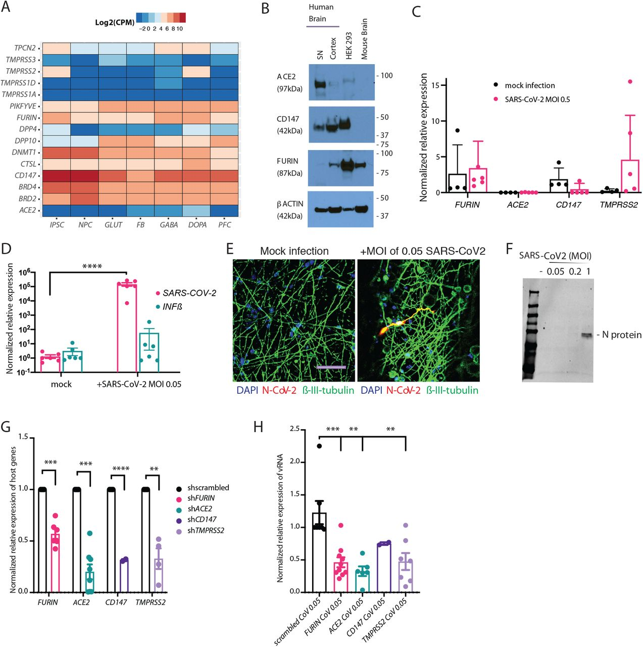 Infection of neurons by SARS-CoV-2 in vitro . A . Expression of host genes associated with SARS-CoV-2 infection ( Gordon et al., 2020 ; Ou et al., 2020 ; Wruck and Adjaye, 2020 ) examined by RNA-sequencing (Log 2 RNA-seq, CPM medians) of post-mortem human prefrontal cortex (PFC), human induced pluripotent stem cells (hiPSCs), neural progenitor cells (NPCs) and four hiPSC-derived neuronal cell types: induced glutamatergic (GLUT), differentiated forebrain (FB) populations (comprised of glutamatergic neurons, GABAergic neurons and astrocytes), induced GABAergic (GABA) and induced dopaminergic (DOPA). B . Immunoblot showing ACE2, FURIN and CD147 protein in post-mortem human adult substantia nigra (SN) and PFC. C . Baseline host gene expression in d21 NGN2 -induced glutamatergic neurons, uninfected or infected with SARS-CoV-2 (MOI 0.5), normalized relative to alveolospheres, to ensure comparability across cell types. D . qPCR analysis of relative change in subgenomic vRNA N transcript and Interferon β (IFNβ) in mock and SARS-CoV-2 infected d21 NGN2 -induced glutamatergic neurons (MOI of 0.05, 24 hours). E . Representative immunostaining for SARS-CoV-2 nucleocapsid (N) protein (red), neuronal marker β-III-tubulin (green) and DAPI (blue) in d7 NGN2 -induced glutamatergic neurons infected with a SARS-CoV-2 (MOI of 0.05, 48 hours). Scale bar: 50μm F . Immunoblot against SARS-CoV-2 nucleocapsid (N) protein shows replication in NGN2 -induced glutamatergic neurons at a MOI of 1 after 24 hours. G . shRNA knock down of FURIN, ACE2, CD147 , and TMPRSS2 host genes, normalized to 18S levels and scrambled, in d7 NGN2 -induced glutamatergic neurons. T-test, **p