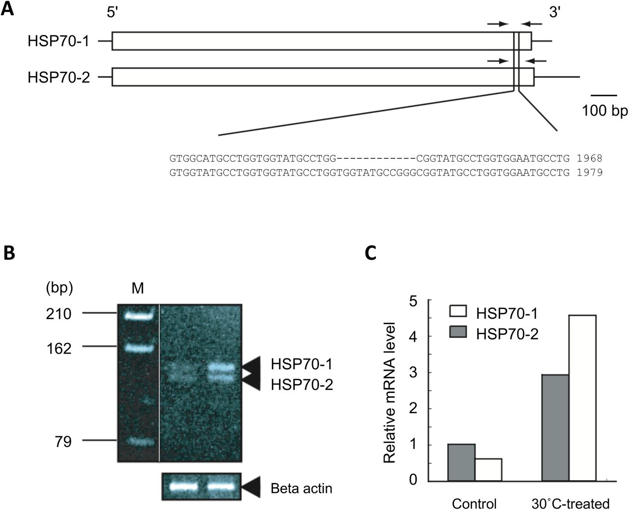 Semi-quantitative reverse transcription-PCR B. plicatilis HSP70 genes. A representative result is shown out of three independent experiments. (A) Location of primers rHSP70_gapF and rHSP70_gapR that amplify cDNA fragment of 112 and 124 bp from HSP70-1 and HSP70-2 cDNAs, respectively. (B) Polyacrylamide gel electrophoresis patterns of the RT-PCR product. Cycle numbers within a linear range of PCR amplification were determined to be 24 to 28 cycles for both cDNAs by preliminary experiments on the basis of signal intensities of amplified products by RT-PCR. (C) Signal intensities of HSP70-1 and HSP70-2 genes standardized to those of β-actin.