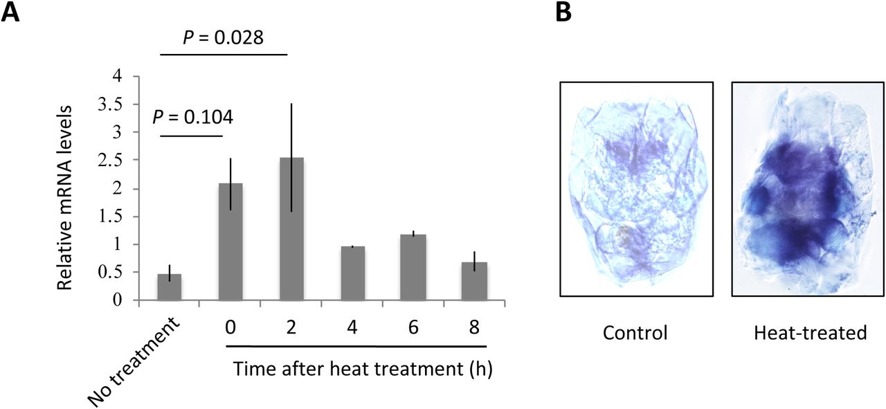 Expression analyses of B. plicatilis HSP70 genes. (A) Heat stress-induced expression of HSP70 quantified by real-time PCR. Beta-actin gene was used as the internal control. Bars represent standard errors from three replications. One-way ANOVA detected significant effects of heat treatment (F = 3.281, df = 5, P = 0.0426). Dunnett's multiple comparison was used to detect significant differences between the control and other groups. Difference between control and two hours group was statistically significant (t = 3.246, P = 0.028). (B) In situ hybridization for B. plicatilis HSP70 genes. Rotifers were fixed 4 h after the heat treatment.