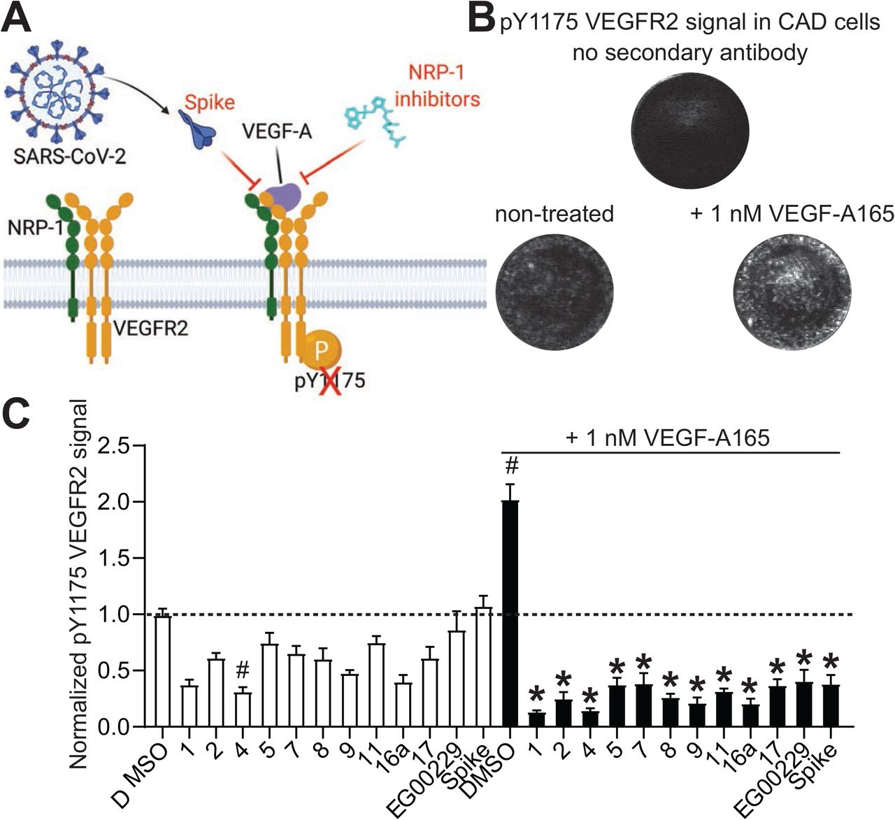 Screening of NRP-1/VEGF-A165 inhibitors by in cell western. (A) schematic of VEGF-A triggered phosphorylation of VEGF-R2. Screening of NRP-1/VEGF-A165 inhibitors by in-cell Western. Cathecholamine A differentiated (CAD) cells were grown in 96 well plates. Cells were treated with the NRP-1/VEGF-A165 inhibitors at 12.5 µM or SARS-CoV-2 Spike (100 nM) in combination with 1nM VEGF-A165 as indicated. Cells were stained for pY1175 VEGFR2 as a marker of the activation of the pathway by VEGF-A165. (B) representative micrographs showing the lack of signal in controls with omission of the secondary antibody. Phosphorylated VEGFR2 was increased by the addition of 1 nM VEGF-A165 on the cells. (C) Bar graph showing the levels of pY1175 VEGFR2 normalized to the quantity of cells in each well. # p