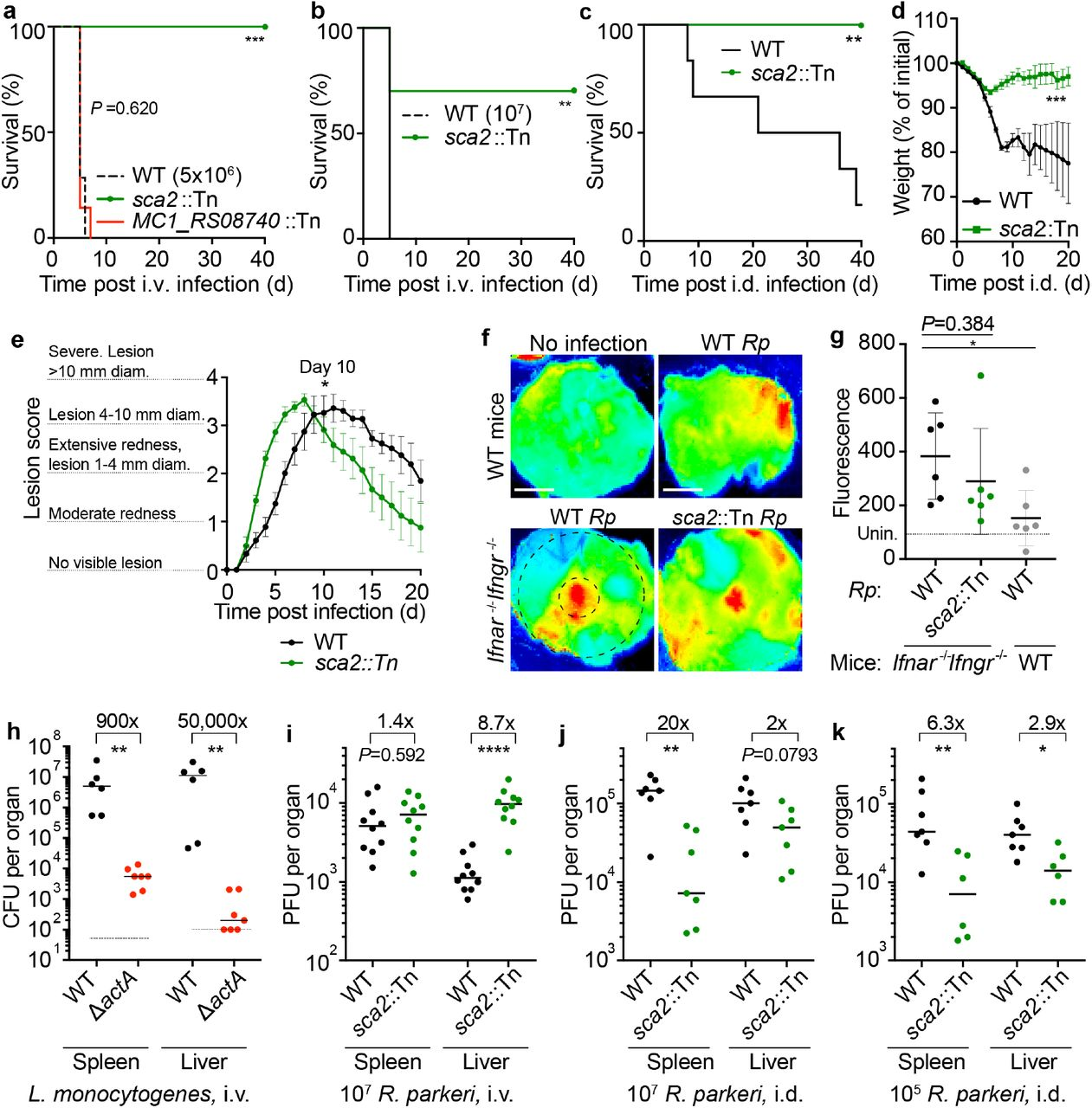 R. parkeri Sca2 contributes to dissemination from skin to peripheral organs. a ) Survival of Ifnar −/− Ifngr −/− mice upon i.v. infection with 5 × 10 6 R. parkeri . n =7 (WT), 10 ( sca2 ::Tn), and 7 ( MC1_RS08740 ::Tn R. parkeri ) individual mice. Data are the combination of two independent experiments. b ) Survival of Ifnar −/− Ifngr −/− mice upon i.v. infection with 10 7 R. parkeri . n =7 (WT) and 10 ( sca2 ::Tn) individual mice. Data are the combination of two independent experiments. c ) Survival of Ifnar −/− Ifngr −/− mice upon i.d. infection with 10 7 R. parkeri . n =6 (WT) and 8 ( sca2 ::Tn) individual mice. Data are the combination of two independent experiments. d ) Weight changes of Ifnar −/− Ifngr −/− mice upon i.d. infection with 10 7 R. parkeri . n =6 (WT) and 8 ( sca2 ::Tn) individual mice. Data are the combination of two independent experiments. e ) Analysis of gross skin pathology after i.d. infection. Ifnar −/− Ifngr −/− mice were infected with 10 7 of the indicated strains of R. parkeri and monitored over time. n =9 (WT) and 8 ( sca2 ::Tn) individual mice. Data are the combination of two independent experiments. f ) Representative images of fluorescence in mouse skin after i.d. infection with 10 6 R. parkeri and delivery of a fluorescent dextran, at 5 d.p.i. Scale bars, 1 cm. The larger black dashed circle represents the area that was measured for fluorescence for each sample, as indicated in Fig. 3g (~80,000 pixels). The smaller black-dashed circle represents of the injection site area that was measured for fluorescence for each sample, as indicated in Extended Data Fig. 3 (~7,800 pixels). g ) Quantification of fluorescence in mouse skin after i.d. infection. Mice were infected with 10 7 R. parkeri , and 150 μl fluorescent dextran was intravenously delivered at 5 d.p.i. Skin was harvested 2 h later, and fluorescence was measured using a fluorescence imager. Data indicate measurements of larger areas of skin, as indicated in f by the larger black c