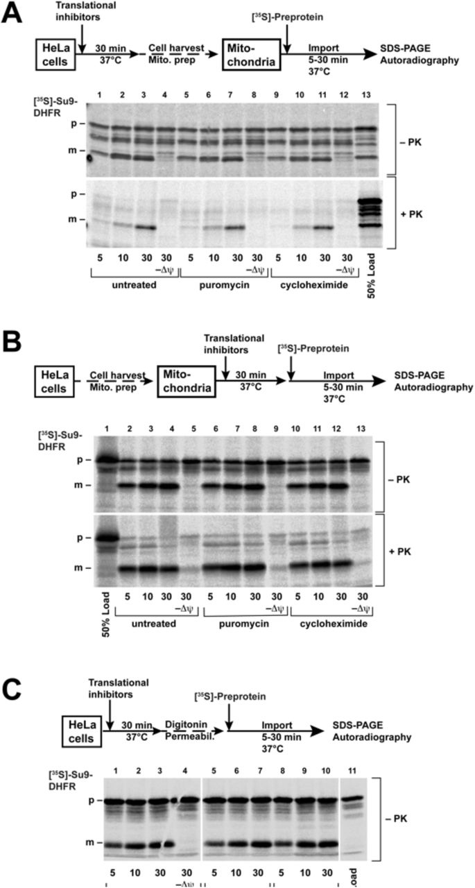 "Import of the radiolabeled proteins into the mitochondria  in vitro Import of the [ 35 S]-labeled protein Su9-DHFR was performed as described in the ""Methods"" section. The cells (A) or the isolated mitochondria (B) were pretreated before import with PUR (20 µg/ml) or CHX (100 µg/ml) for 30 min at 37°C. The import reactions were incubated for the indicated times. (C) The cells were permeabilized with digitonin after pretreatment, and then import was performed directly without isolation of the mitochondria. In the control reactions (-Δψ), the inner membrane potential was depleted, as described. After import, the cells were treated with proteinase K, as indicated. The imported proteins were analyzed by SDS-PAGE and autoradiography (p: precursor form, m: mature form of Su9-DHFR). The schematic outlines of the experimental procedures are given."