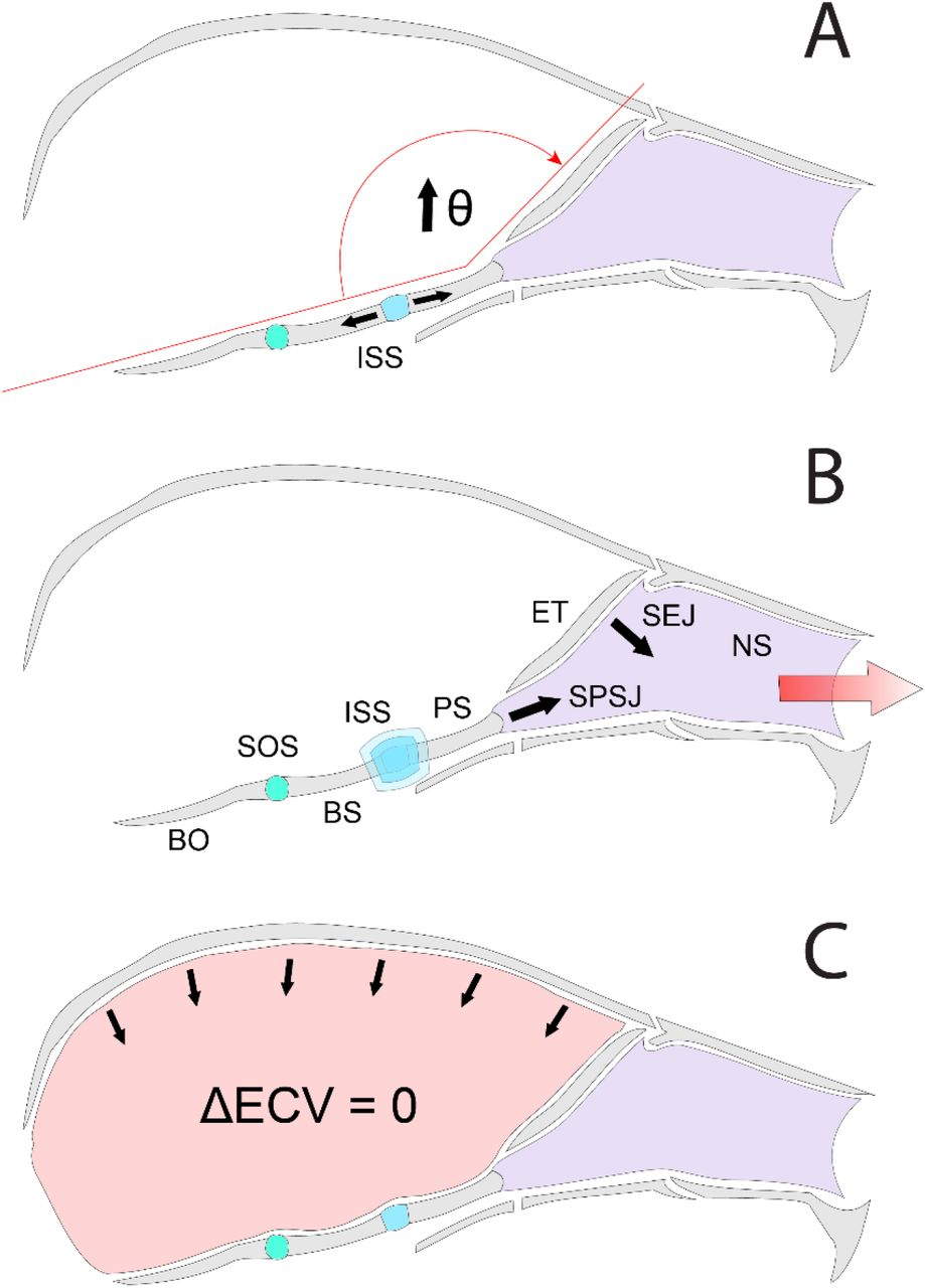 Selection For Increased Tibia Length In Mice Alters Skull Shape Through Parallel Changes In Developmental Mechanisms Biorxiv A synchondrosis (or primary cartilaginous joint) is a type of cartilaginous joint where hyaline cartilage completely joins together two bones.1 synchondroses are different than symphyses (secondary cartilaginous joints) which are formed of fibrocartilage. tibia length in mice alters skull