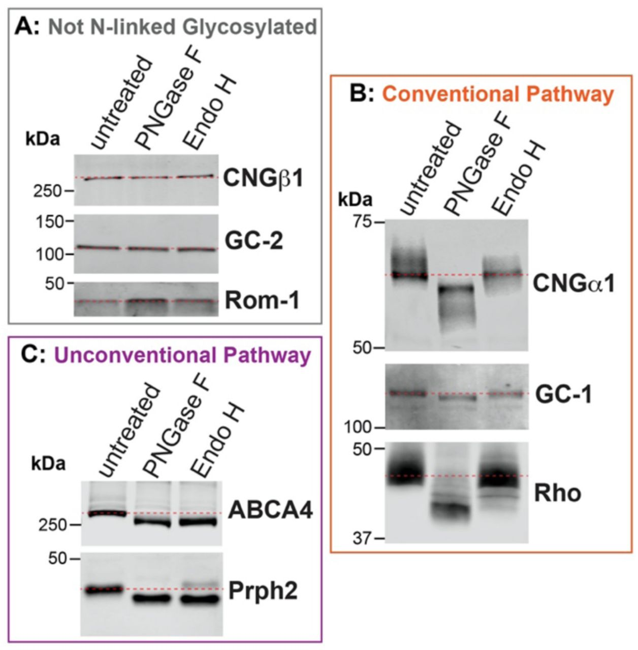 The rod CNG channel is trafficked using the conventional secretory pathway. Mouse retinal lysates (untreated) were incubated with PNGase F or Endo H and analyzed by Western blotting. ( A ) Electrophoretic mobility of non-glycosylated proteins CNGβ1, guanylate cyclase-2 (GC-2) and Rom-1, is unaffected by enzymatic treatments. ( B ) CNGα1, guanylate cyclase-1 (GC-1) and rhodopsin (Rho) are sensitive to PNGase F and resistant to Endo H treatment, indicating their processing through the conventional secretory pathway. ( C ) ABCA4 and peripherin-2 (Prph2) are sensitive to both PNGase F and Endo H treatments, indicating their processing through the unconventional secretory pathway. Dashed red lines are used to mark the positions of untreated protein bands. 10 µg of total protein was loaded in each lane.
