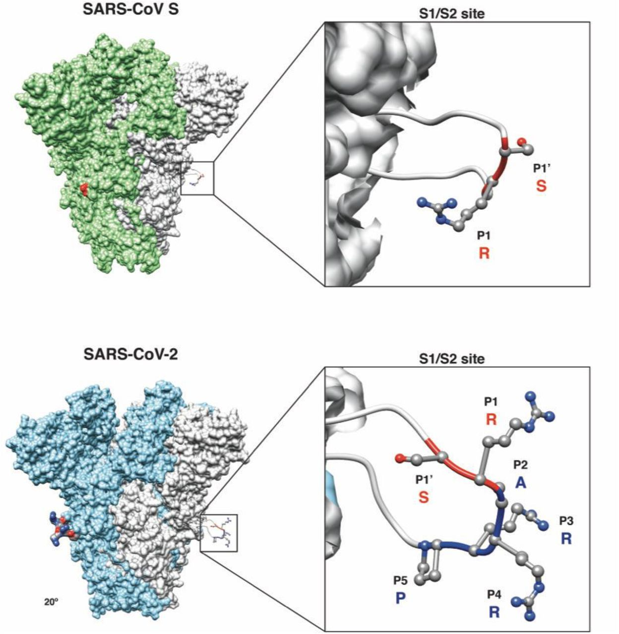 Predicted structural model of the SARS-CoV and SARS-CoV-2 S proteins. ( Inset ) Magnification of S1/S2 site with conserved R and S residues (red ribbon) and the unique four amino acid insertion P-R-R-A for SARS-CoV-2 (blue ribbon) are shown. The P's denote the position of that amino acid from the S1/S2 cleavage site, with P1-P5 referring to amino acids before the cleavage site and P1' referring to amino acids after the cleavage site.