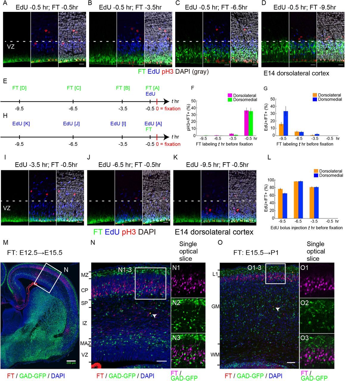 Characterization of cell population labeled with the FlashTag (FT) technology. A-G: 1 mM of 5- or 6-(N-Succinimidyloxycarbonyl) fluorescein 3',6'-diacetate (CFSE) was injected into the lateral ventricles (LV) at embryonic day (E)14 ICR mice and fixed 0.5 (A), 3.5 (B), 6.5 (C), 9.5 (D) hours later. Intraperitoneal bolus injection of 5-Ethynyl-2'-deoxyuridine (EdU) was performed maternally 0.5 hours before fixation. Photomicrographs from the dorsolateral cortex were shown. In (A), FT-labeled cells positioned most apically and were often positive for phospho-histone H3 (pH3) ( Figure 1F -0.5 hour, dorsolateral: 36.1± 4.0% [mean ± standard error of means], 339 cells from 5 brains; dorsomedial: 35.2 ± 4.7%, 249 cells from 5 brains) but negative for EdU administered at the same time ( Figure 1G , -0.5 hour, dorsolateral: 0 ± 0%, 339 cells from 5 brains; dorsomedial: 0 ± 0%, 249 cells from 5 brains). The nuclei of EdU positive cells positioned basally in the VZ. 3.5 hours after FT injection, FT-labeled cells left the ventricular surface but still near it, and were no longer positive for pH3 (B) ( Figure 1F , -3.5 hours, dorsolateral: 2.8 ± 0.7%, 530 cells from 5 brains; dorsomedial: 1.1 ± 0.5%, 415 cells from 5 brains). 6.5 hours after labeling, almost no cells were adjacent to the lateral ventricle (C). 9.5 hours after labeling, most of the labeled cells were in about basal two thirds in the VZ and double labeled for EdU, suggesting that some of them reentered the S-phase (D) ( Figure 1G , -9.5 hours, dorsolateral: 15.9± 2.5%, 711 cells from 5 brains; dorsomedial: 33.4 ± 6.6 %, 546 cells from 5 brains). Schematic presentation of these experiments was shown in E. In (F), percentages of pH3+ cells out of the FT-labeled cells were shown. Magenta, pH3+ FT+/FT+ in the dorsolateral cortex. Green, pH3+ FT+/FT+ in the dorsomedial cortex. In (G), percentages of EdU+ cells out of FT-labeled cells were shown. Orange, EdU+ FT+/FT+ in the dorsolateral cortex. Blue, EdU+ FT+/FT+ in the