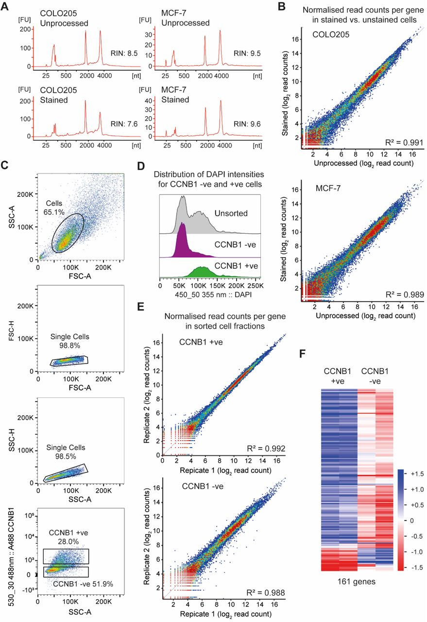 RNA-seq of stained and sorted cell populations A : Bioanalyzer profiles of total RNA derived from unprocessed cells (harvested directly from trypsinised cells) compared to cells that have undergone glyoxal fixation, permeabilisation with 100% methanol and indirect immunofluorescence for CCNB1. 0.1-5 ng of total RNA was separated on total RNA pico chips on Agilent 2100 Bioanalyzer. B : Scatter plots comparing the normalised read count for each annotated gene in GRCh38 in poly(A)+ RNA-seq libraries derived from unprocessed and from glyoxal fixed, permeabilised and stained cells. Two biological replicates were sequenced for each condition and averaged, read counts were normalised to the total number of reads in each library. Data is shown for both COLO205 and MCF-7 cells. C : Flow cytometry density plots for MCF-7 cells labelled with anti-CCNB1 primary antibody and donkey Alexa Fluor-488 conjugated secondary antibody and sorted using a BD <t>FACSAria</t> <t>III</t> sorter. Intact cells (shown within the elliptical gate) were distinguished from off-scale events and cell debris using forward scatter (FSC) and side scatter (SSC) measurements (panel 1). Doublets were excluded from the gated cells by a 2-step gating strategy with pulse height (H) plotted against area (A) for FSC parameter followed by SSC-H versus SSC-A plot (panel 3). Fluorescence thresholds for isolation of CCNB1 positive and negative cell fractions are shown in panel 4. Gates were set using the negative control and the CCNB1 positive and negative sorting gates were moved apart from each other to maximise purity when sorted. D : Fluorescence histogram of DAPI intensities for sorted CCNB1 negative and positive populations E : Scatter plots comparing the normalised read count for each annotated gene in GRCh38 in poly(A)+ RNA-seq libraries derived from two biological replicates each of CCNB1 positive (left) and negative (right) MCF-7 cells. Note the particularly tight correlation after sorting towards the ant