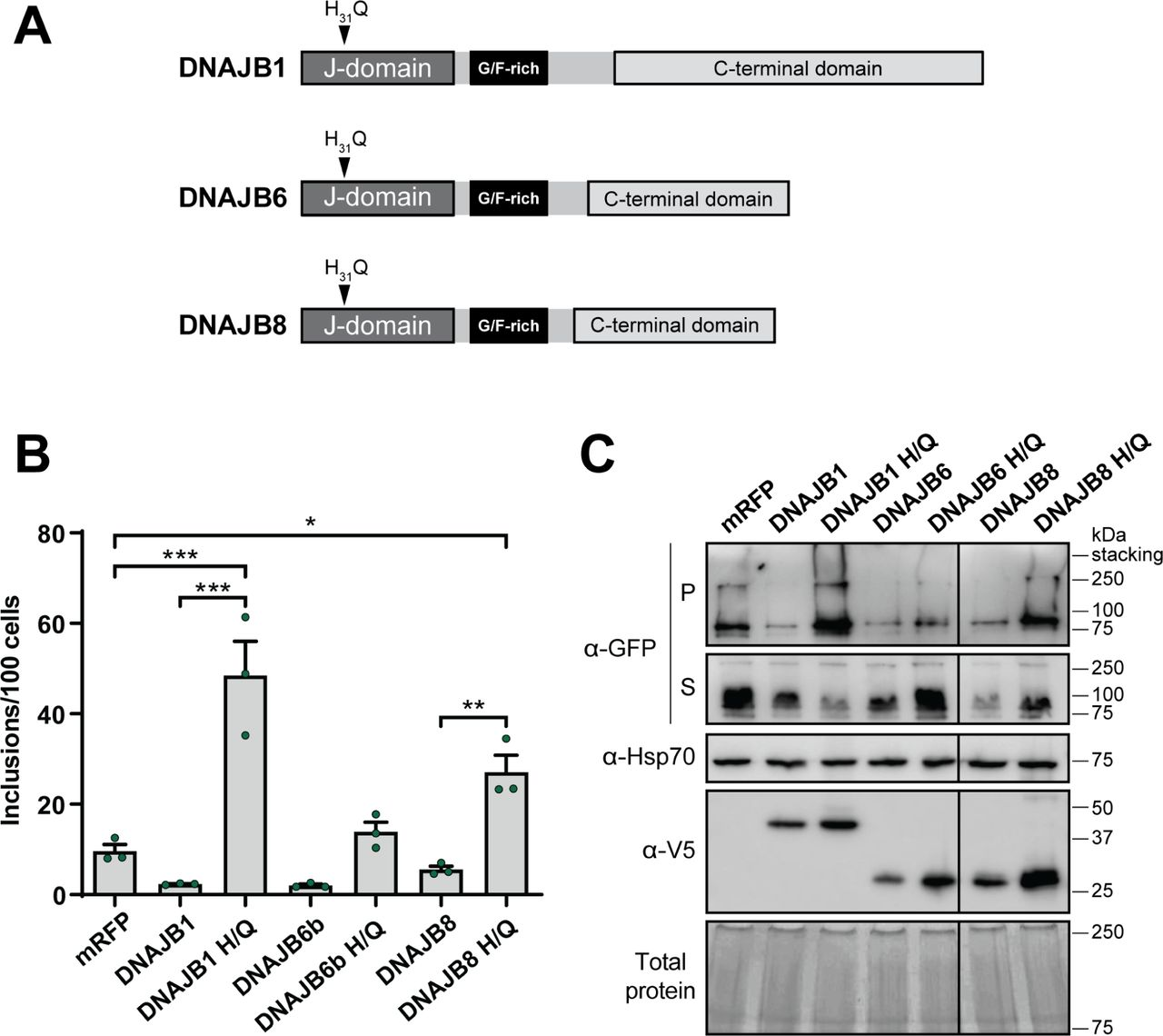 Interaction with Hsp70 is required for DNAJBs to suppress Fluc DM aggregation. (A) Schematic overview of DNAJB proteins identifying location of mutation within the J-domain, in which the histidine residue has been substituted for a glutamine (termed H/Q) at amino acid position 31 within the HPD (Hsp70-interacting) motif. HEK293 cells were co-transfected to express Fluc DM -EGFP and mRFP (as a negative control), DNAJB1, DNAJB6, DNAJB8 or their H/Q variants. Cells were analysed 48 h post-transfection by (B) quantitative flow cytometry or (C) NP-40 cell fractionation followed by immunoblotting. Data in (B) is presented as the mean ± S.E.M (n=3) of the number of inclusions per 100 cells. Significant differences between group means in the data were determined using a one-way ANOVA (P