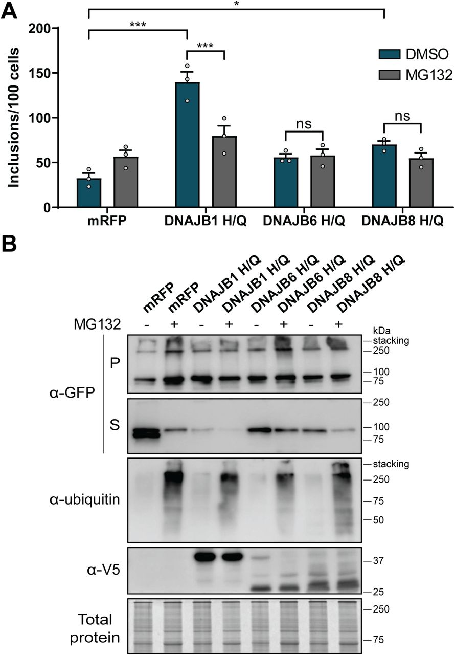 DNAJBs rely upon interaction with Hsp70 to deliver Fluc DM for the degradation via the proteasome. HEK293 cells co-transfected with Fluc DM -EGFP and mRFP (as a negative control), DNAJB1, DNAJB6 or DNAJB8 H/Q variants. Cells were treated with a proteasome inhibitor MG132 (10µM) or a DMSO vehicle control 24 h post-transfection. Cells were incubated for a further 18 h and analysed 42 h post-transfection by (A) quantitative flow cytometry or (B) NP-40 fractionation and subsequent Western blotting. Data in (A) is presented as the mean ± S.E.M (n=3) of the number of inclusions per 100 cells. Significant differences between group means in the data were determined using a one-way ANOVA ( P