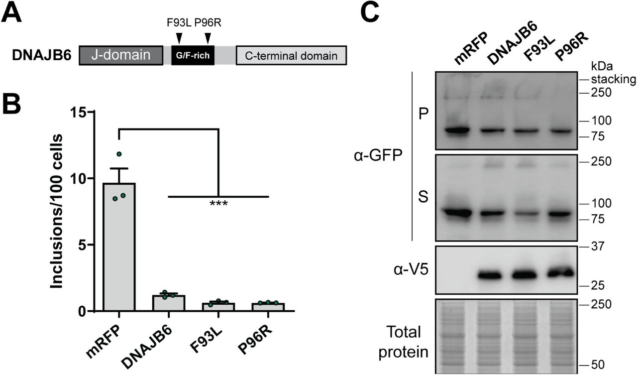 Disease-related mutations in the G/F-rich domain of DNAJB6 do not affect its capacity to inhibit Fluc DM inclusions formation. (A) Schematic overview of DNAJB6 disease-related missense mutations at amino acid positions 93 and 96 in the G/F-rich region. HEK293 cells were co-transfected with Fluc DM -EGFP and mRFP (as a negative control) or DNAJB6 G/F-domain disease-related mutational variants. Cells were analysed 48 h post-transfection by (B) quantitative flow cytometry or (C) NP-40 fractionation and immunoblotting. Data in (B) is presented as the mean ± S.E.M (n=3) of the number of inclusions per 100 cells. Significant differences between group means in the data were determined using a one-way ANOVA ( P