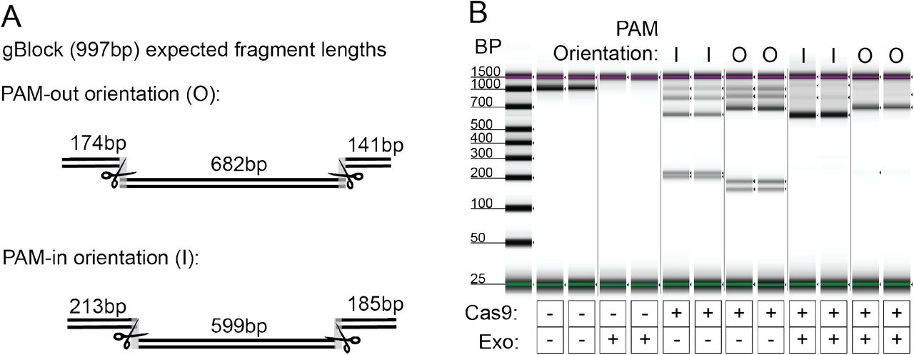 A. gBlock assay design for Cas9 challenge with exonuclease. gBlock contained two pairs of gRNA target sites, one with PAM-out orientation and one with PAM-in orientation. Upon Cas9 binding (depicted by scissors), each set of target sites generate 3 unique fragment lengths. B. Capillary electrophoresis results from exonuclease challenge experiment with Cas9. 15nM gBlock DNA was incubated with 40nM ribonucleoprotien complex, followed by digestion with a combination of exonucleases for 2 hours. When Cas9 is used without exonucleases, the gBlock is cut to produce expected fragment lengths. Upon challenge with exonuclease, only the fragments flanked on both sides by Cas9 remain in the sample. (l=in; O=out). Wells in gel image are re-ordered for clarity.