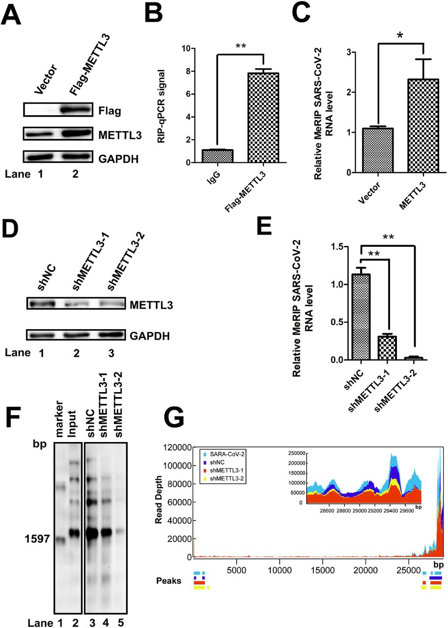 METTL3 catalyzed the m 6 A modification of SARS-CoV-2. (A and D) Western blotting. METTL3 was knocked down by shRNA (D) or overexpressed (A) in Vero-E6 cells. The expression of METTL3 was checked using anti-METTL3 (A and D) or anti-Flag antibodies (A), as indicated. Vector-transfected cells were used as a control. (B) Formaldehyde-RIP qRT-PCR. Cell lysates from formaldehyde-crosslinking were subjected to IP with IgG or anti-Flag antibodies. qRT-PCR was performed to quantify SARS-CoV-2 RNA. IgG was used as a negative control. Unpaired Student's t -tests were performed, and data are presented as means ± standard errors of the means (n = 3). ** P ≤ 0.01. (C and E) MeRIP-qPCR. RNA was extracted from SARS-CoV-2-infected Vero-E6 cells in which METTL3 was overexpressed (C) or knocked down by shRNA (E). Me-RIP was performed, and SARS-CoV-2 RNA was quantified by qRT-PCR. Unpaired Student's t -tests were performed, and data are presented as means ± standard errors of the means (n = 3). ** P ≤ 0.01. (F) MeRIP and northern blotting. RNAs were harvested from SARS-CoV-2-infected Vero-E6 cells in which METTL3 was knocked down by shRNA. MeRIP and northern blotting were performed. (G) MeRIP-Seq. Total RNA was isolated from SARS-CoV-2-infected Vero E6 cells in which METTL3 was knocked down.