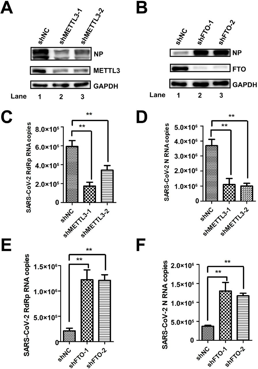 METTL3 regulated SARS-CoV-2 replication. (A and B) Western blotting. METTL3 and FTO was knocked down in Vero-E6 cells by shRNA. The expression of METTL3 protein and viral NP was detected by western blotting with specific antibodies. (C–F) qRT-PCR. Total RNA was isolated from SARS-CoV-2-infected Vero-E6 cells in which METTL3 and FTO was knocked down by shRNA as indicated. SARS-CoV-2 RNA was quantified using qRT-PCR with specific primers targeting N and RdRp genes. GAPDH was used as a control. Unpaired Student's t -tests were performed. Data are presented as means ± SEMs (n = 3). * P ≤ 0.05.