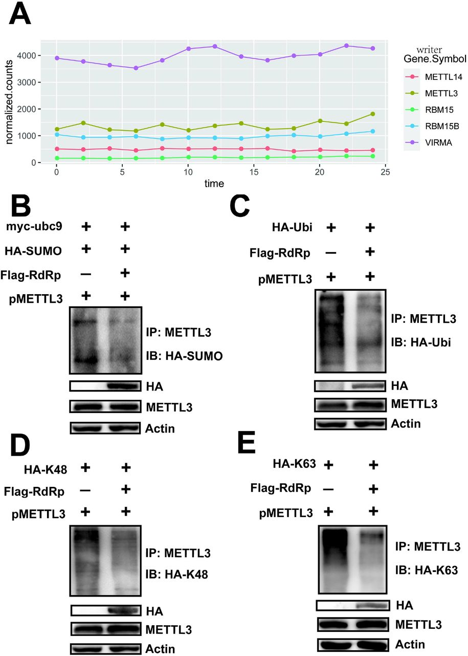 RdRp expression regulated the sumoylation and ubiquitination of METTL3. (A) RNA expression of host methyltransferases. Total RNA was harvested from SARS-CoV-2-infected Vero-E6 cells every 2 h, as indicated. The mRNAs were separated and subjected to next-generation sequencing. RNA levels of host methyltransferases were normalized according to the sequencing reads. (B) Sumoylation assay. METTL3 was overexpressed in HEK293T cells by transfection with pMETTL3, followed by transfection with pFlag-RdRp, pHA-SUMO-1, and pMyc-Ubc9. IP and immunoblot analyses were performed using the indicated antibodies for the sumoylation assay. (C–E) Ubiquitination assay. HEK293T cells were transfected with pFlag-RdRp, pHA-Ubi, pHA-K48, and pHA-K63 after METTL3 overexpression. IP and immunoblot analyses were performed using the indicated antibodies.