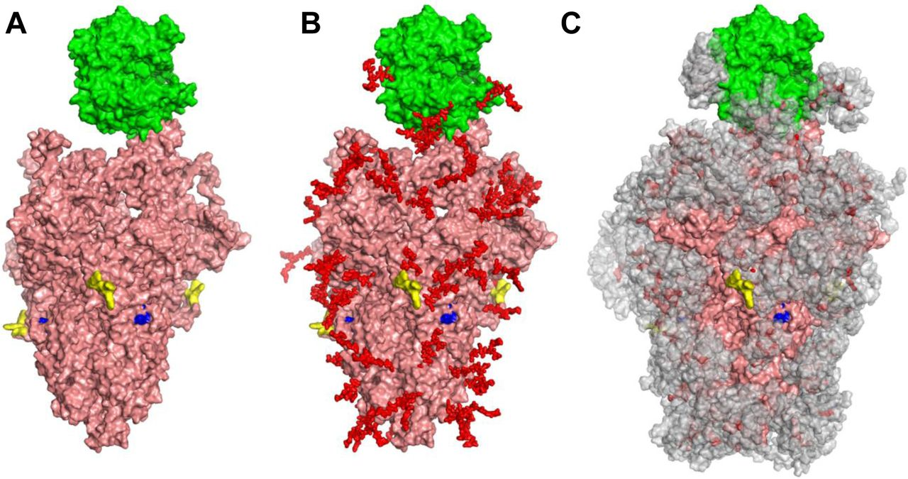 """Glycan coverage of Spike-ACE2 co-complex: SARS-CoV-2 spike protein trimer (pink) bound to ACE2 (green). A . without glycans. B . with N-glycans (red) identified using LC-MS on Spike and ACE2. C . Molecular dynamics simulation analyzed the range of movement of each glycan. The space sampled by glycans is represented by a gray cloud. Glycans cover the Spike-ACE2 interface. They also surround the putative proteolysis site of furin (""""S1-S2"""", yellow) and S2' (blue)."""