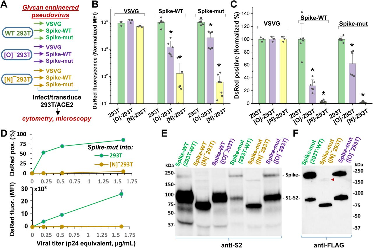 N-glycan modification of SARS-CoV-2 pseudovirus abolishes entry into 293T/ACE2 cells. A . Pseudovirus expressing VSVG envelope protein, Spike-WT and Spike-mutant were produced in wild-type, [O] − and [N] − 293T cells. All 9 viruses were applied at equal titer to stable 293T/ACE2. B - C . O-glycan truncation of Spike partially reduced viral entry. N-glycan truncation abolished viral entry. In order to combine data from multiple viral preparations and independent runs in a single plot, all data were normalized by setting DsRed signal produced by virus generated in wild-type 293T to 10,000 normalized MFI or 100% normalized DsRed positive value. D . Viral titration study performed with Spike-mutant virus shows complete loss of viral infection over a wide range. E . Western blot of Spike protein using <t>anti-S2</t> Ab shows reduced proteolysis of Spike-mut compared to Spike-WT. The full Spike protein and free S2-subunit resulting from S1-S2 cleavage is indicated. Molecular mass is reduced in [N] − 293T products due to truncation of glycan biosynthesis. F . Anti-FLAG Ab binds the C-terminus of Spike-mutant. Spike produced in [N] − 293Ts is almost fully proteolyzed during viral production (red arrowhead). * P