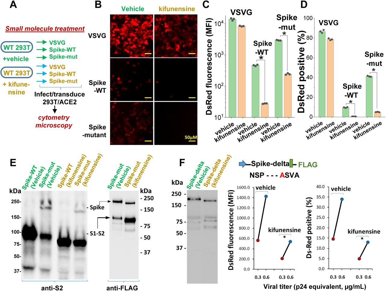 Mannosidase-I blockade using kifunensine inhibits SARS-CoV-2 pseudovirus entry into 293T/ACE2 cells. A . VSVG, Spike-WT and Spike-mutant pseudovirus were produced in the presence of 15µM kifunensine or vehicle control. The 6 viruses were added to 293T/ACE2 at equal titer. B-D . Microscopy (panel B) and cytometry (panel C, D) show ∼90% loss of viral infection in the case of Spike-WT and Spike-mutant virus upon kifunensine treatment (* P