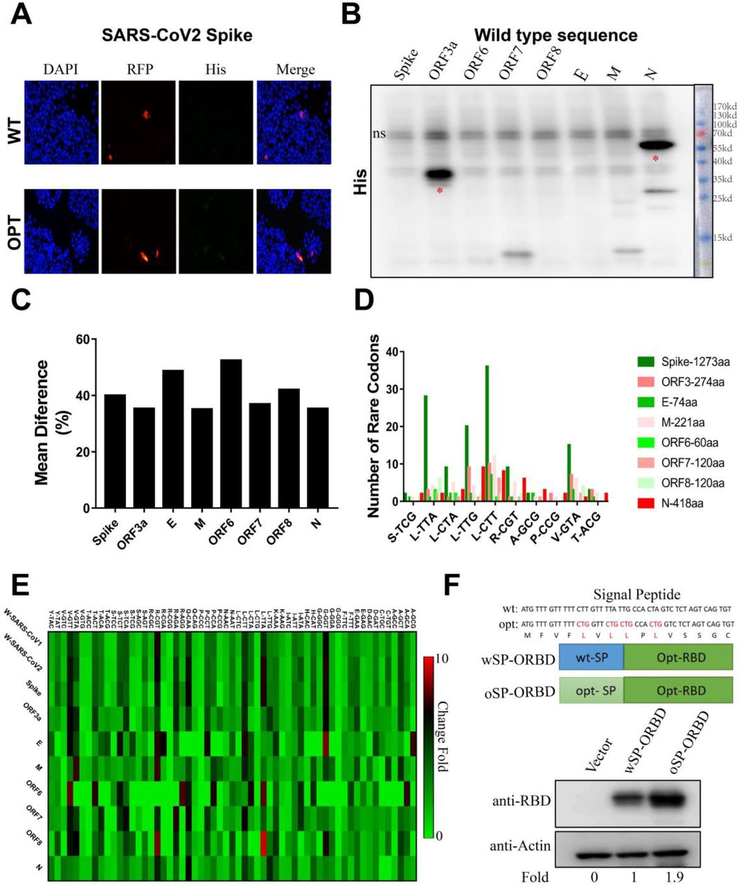 Rare codon bias can prevent translation of SARS-CoV-2 derived sequences (A) Protein expression of plasmids expressing SARS-CoV-2 S using the original or codon-optimized sequence after transfection into human A549 cells. Expression was evaluated using confocal microscopy, and an IRES-RFP sequence was included after the S open reading frame (ORF) for visualisation. (B) Western Blot assay was performed to detect the protein abundance of SARS-CoV-2-derived sequences including the four structural proteins (spike (S), envelope (E), membrane (M) and nucleocapsid (N)) and four accessory proteins (ORF3, ORF6, ORF7 and ORF8). The abbreviation 'ns' indicates non-specific. (C) Codon usage variability of selected SARS-CoV-2 ORFs was analysed with GCUA software using the human standard codon table as reference, and the figure was drawn using GraphPad Prism. (D) The number of rare codons (fraction