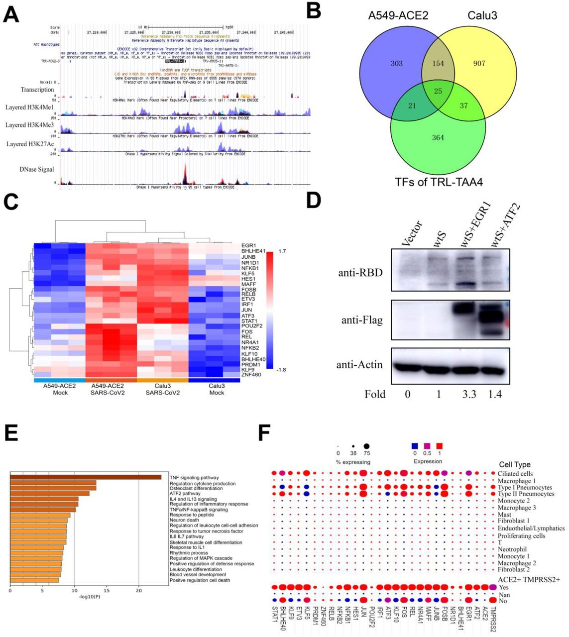 The possible effect of Transcription factors binding Leucine-specific tRNAs in viral protein translation (A) Genomic characteristics including histone modification and transcription factor binding status of tRNA TRL-TAA4-1 which matched with rare codon Leu-TTA was analysed using the UCSC database. (B) Overlap analysis of potential TRL-TAA regulatory transcription factors (TFs) and genes that increased in SARS-CoV-2 infection in A549-ACE2 and Calu3 cells using Venny2.1. (C) Heat map demonstrating the expression of 25 TFs in SARS-CoV-2-infected cell lines created using R studio. (D) Western Blot assay to assess the protein level of S after co-transfection with EGR1 or ATF2 in HEK-293 cells. (E). Differentially expressed genes after SARS-CoV-2 infection (GSE147507) were analyzed with R Studio. Pathway enrichment of highly expressed genes was mapped using Metascape (F) Distribution of genes including ACE2, TMPRSS2, ATF2 and identified TFs in human lung cells was created using public single cell sequence data( 18 ).