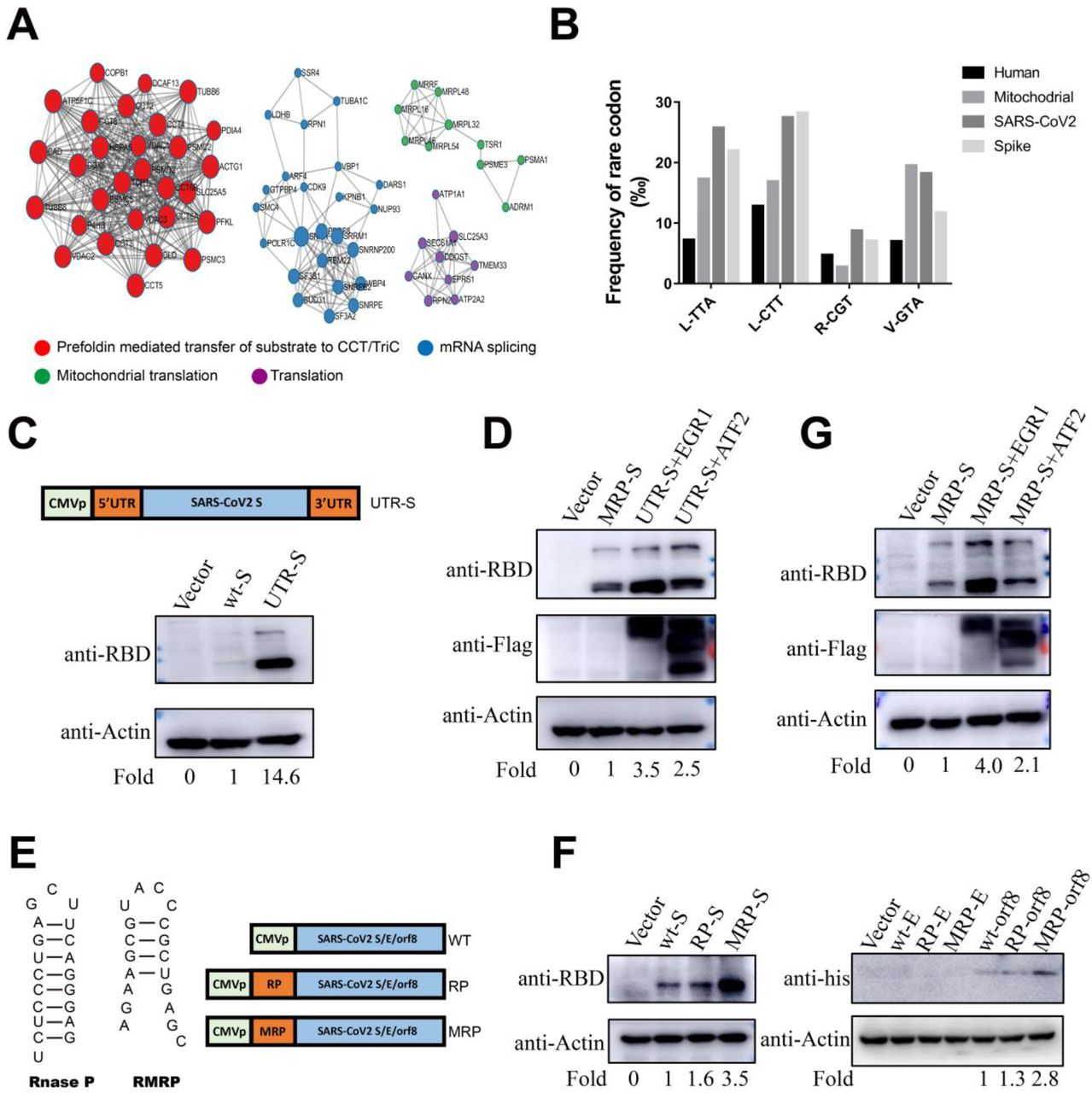 Mitochondrial localization is critical for the translation of SARS-CoV-2 S protein (A) The interaction network of proteins that bound with S was analyzed using Metascape. (B) The frequency of rare codons in SARS-CoV-2, S protein, human nuclear genome and the human mitochondrial genome using the Codon Usage Database. (C) The protein expression of S flanked by SARS-CoV-2 5'- and 3'-UTR sequences in HEK-293 cell lines. (D) The effect of EGR1 and ATF2 on S protein (plus SARS-CoV-2 5'- and 3' UTS sequences) expression was analysed using Western blot after transfection into HEK-293 cells. Fold change was determined using Image J software. (E) The skeleton of recombinant plasmids encoding S with or without mitochondrial localisation signals (MLS) RnaseP or RMRP. (F) Protein expression of SARS-CoV-2 derived sequences including S, E and ORF8 and variants expressing MLS as analysed by Western blot after transfection into HEK-293 cells. (G) The effect of EGR1 and ATF2 on wild type spike with RMRP binding motif (MRP).